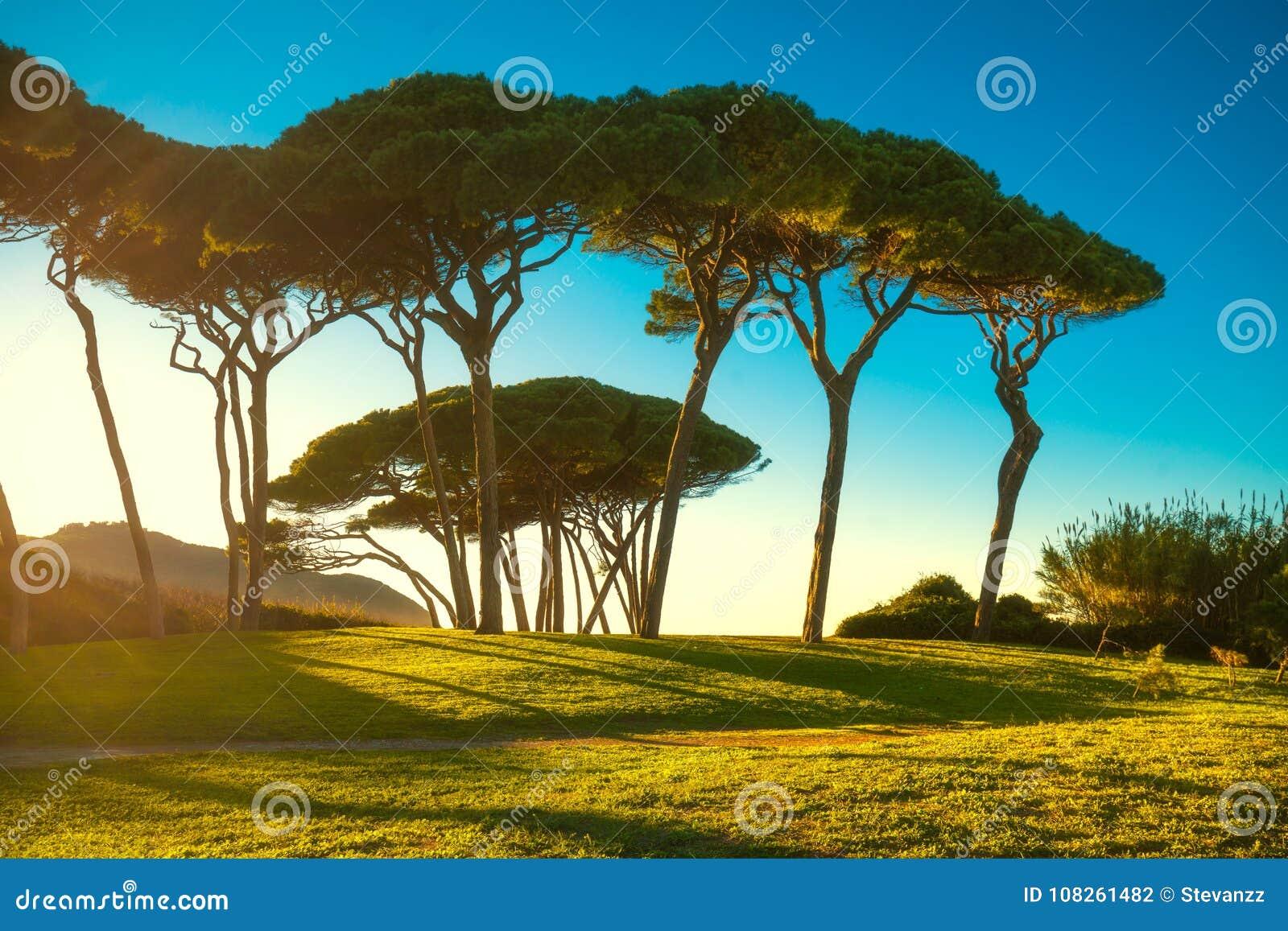 Gruppo Marittimo Dell'albero Di Pino Vicino Al Mare Ed ...