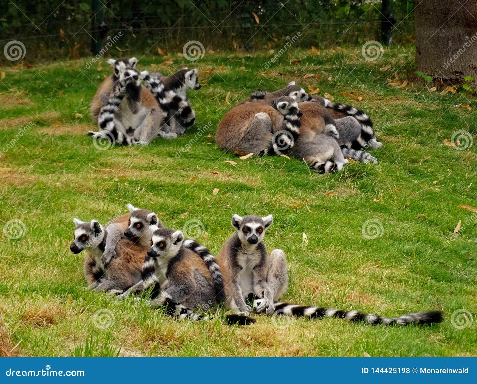 Grupy lemuren w zoo w Augsburskim w Germany