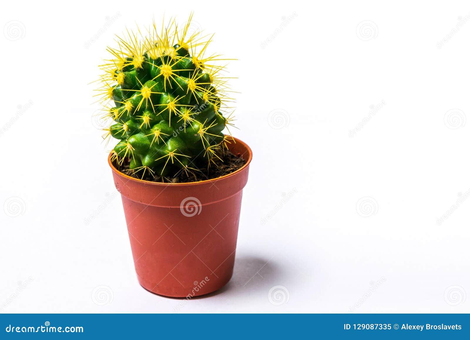 Grusonii de Echinocactus del cactus de barril de oro en pote