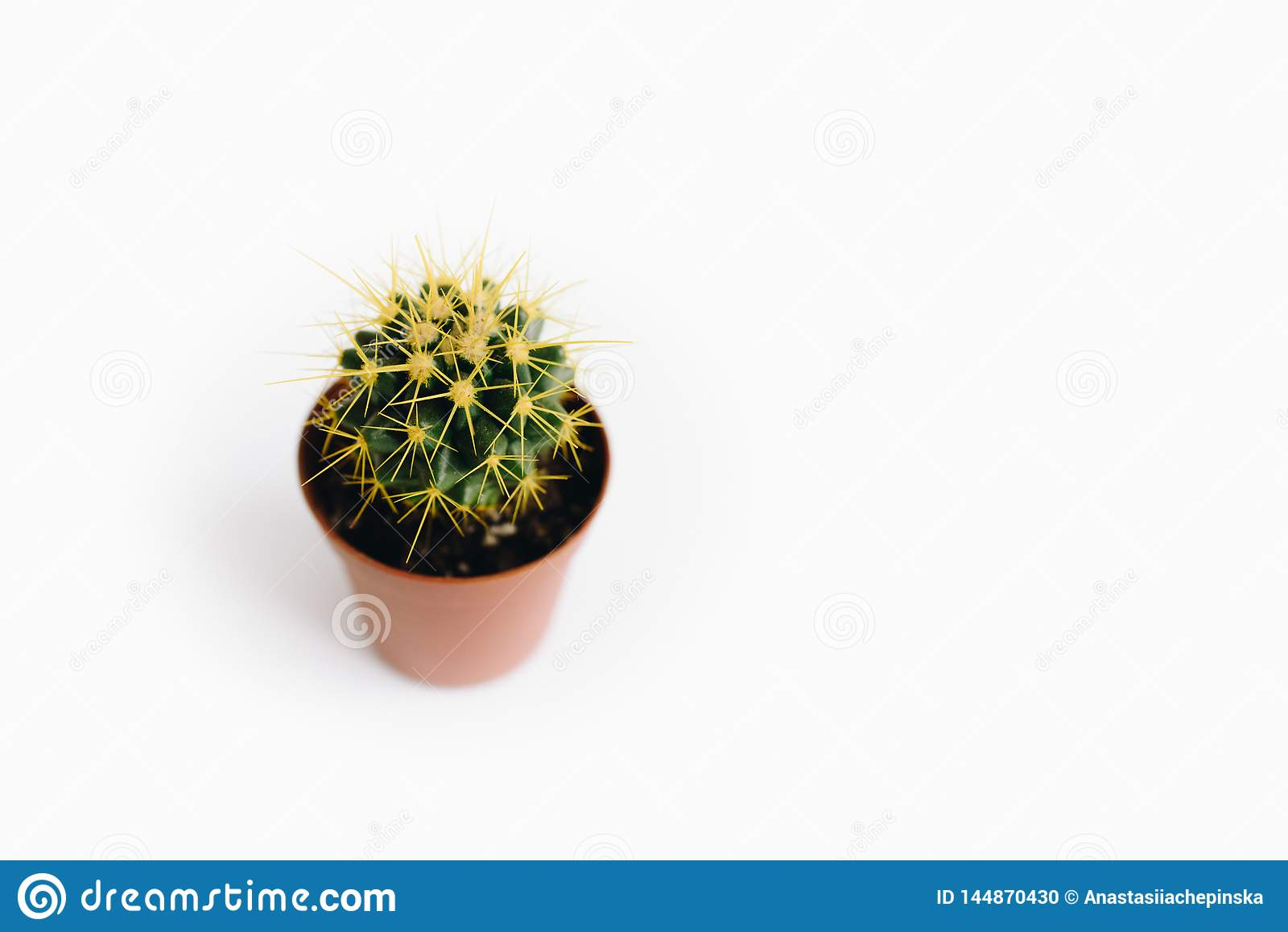 Grusonii de Echinocactus isolado no fundo branco