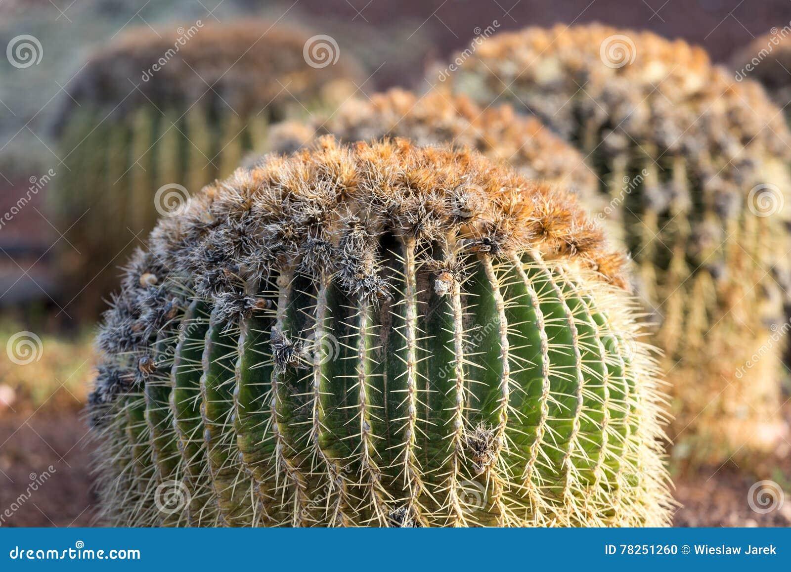 Grusonii Echinocactus, γενικά γνωστό ως χρυσός κάκτος βαρελιών,