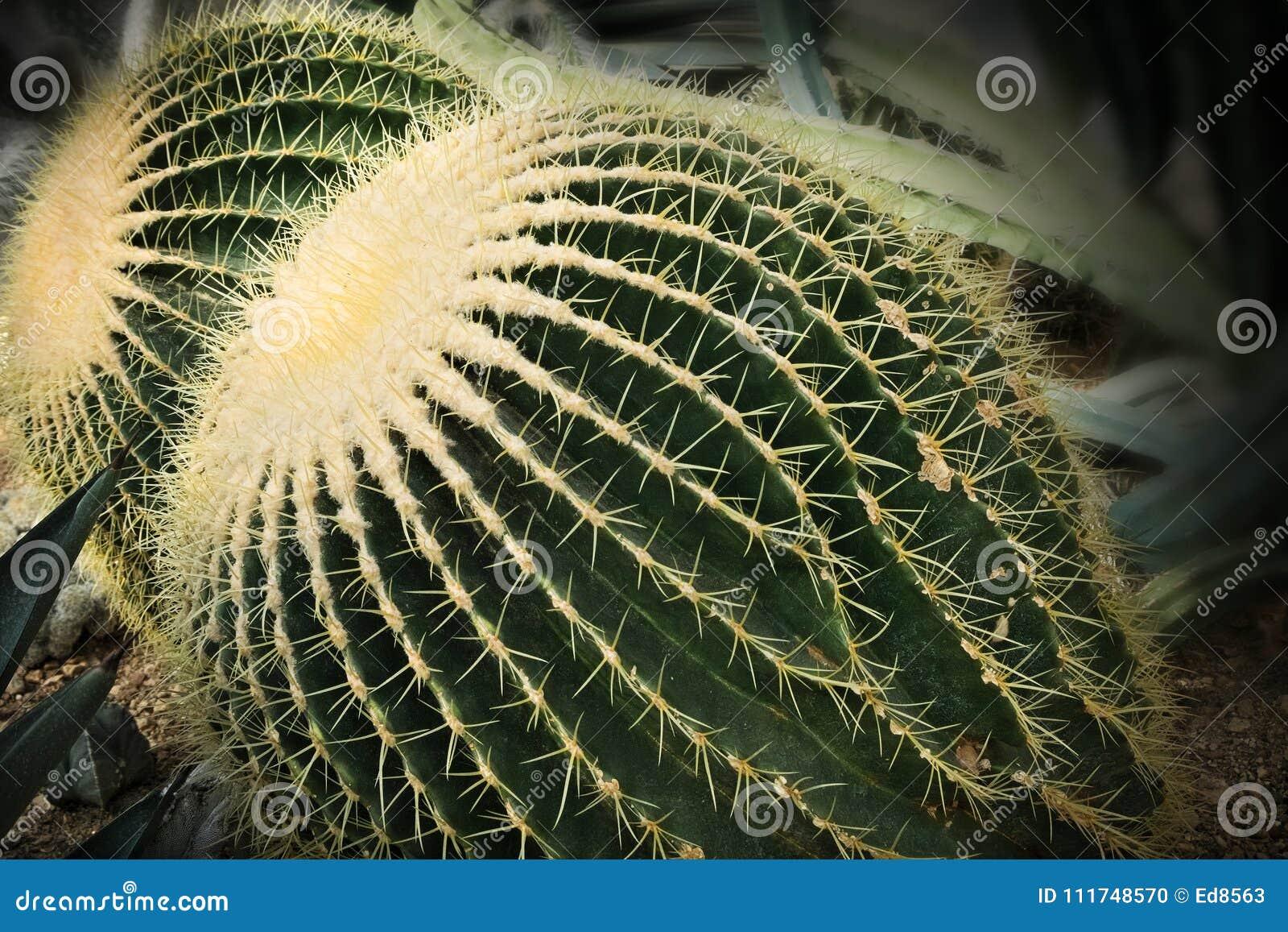 Grusonii Echinocactus - χρυσή κινηματογράφηση σε πρώτο πλάνο ζευγαριού κάκτων βαρελιών