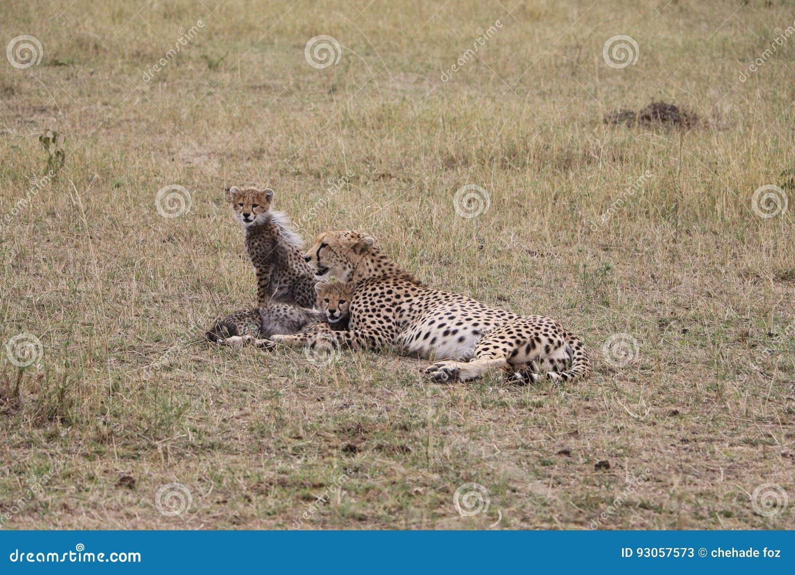 Guépard avec trois petits animaux dans le maasai sauvage Mara