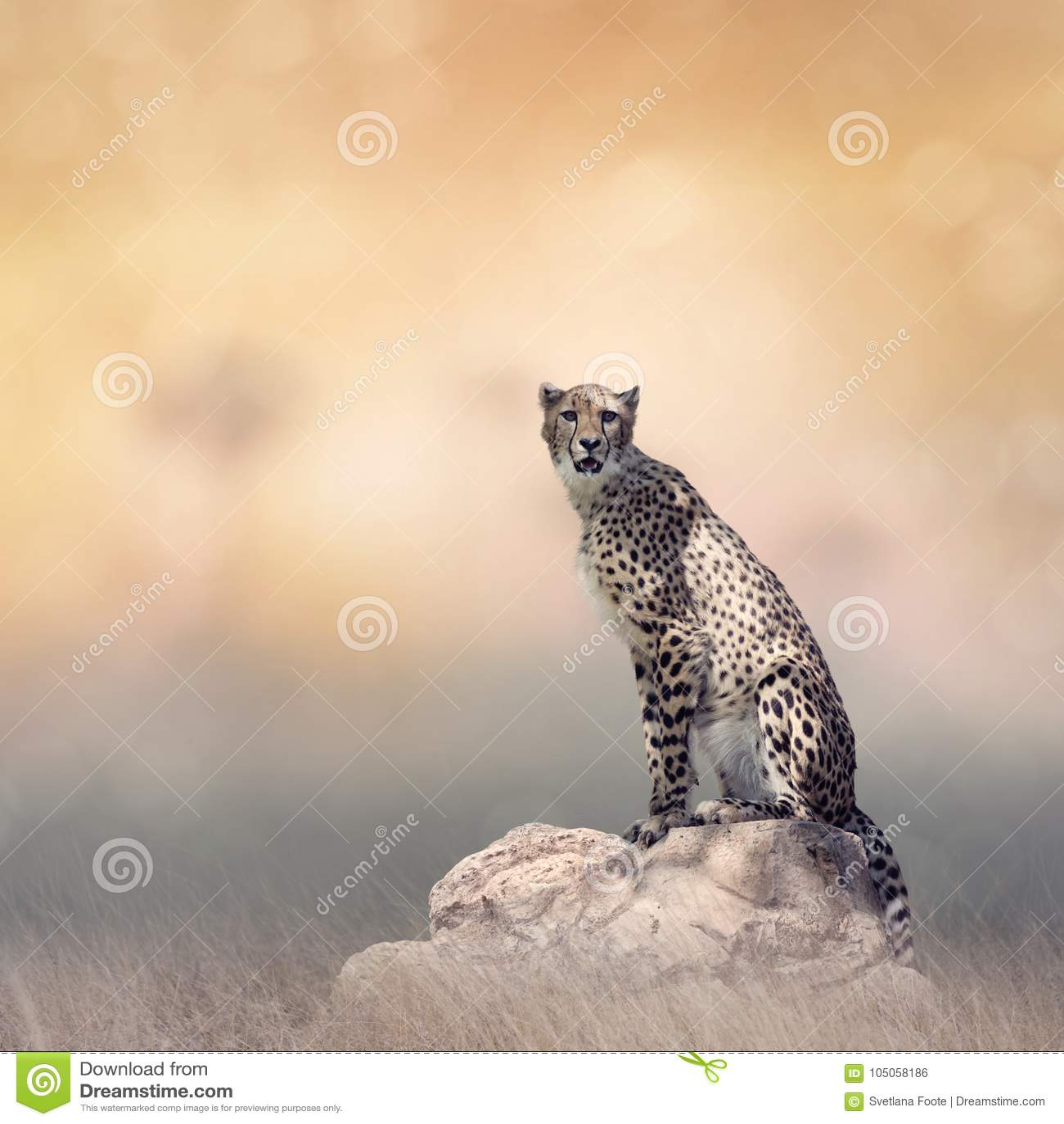 Guépard se reposant sur une roche