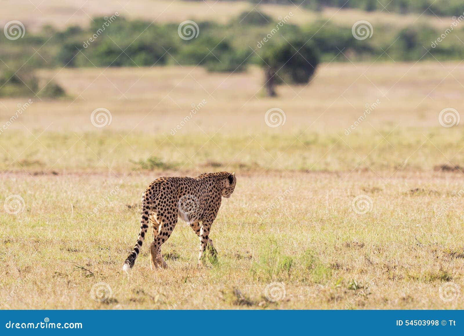 Guépard sur la savane