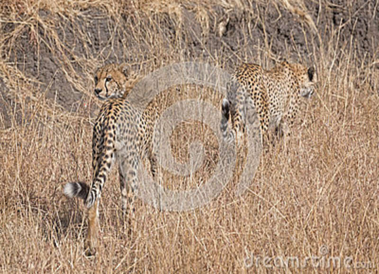 Guépards africains