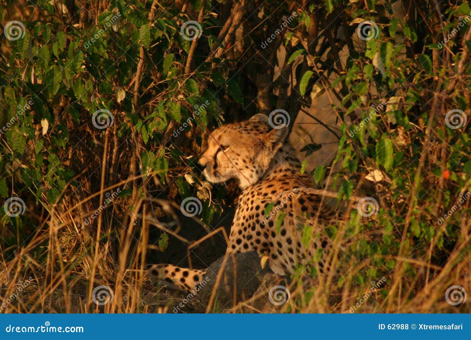 Guépards de Mara