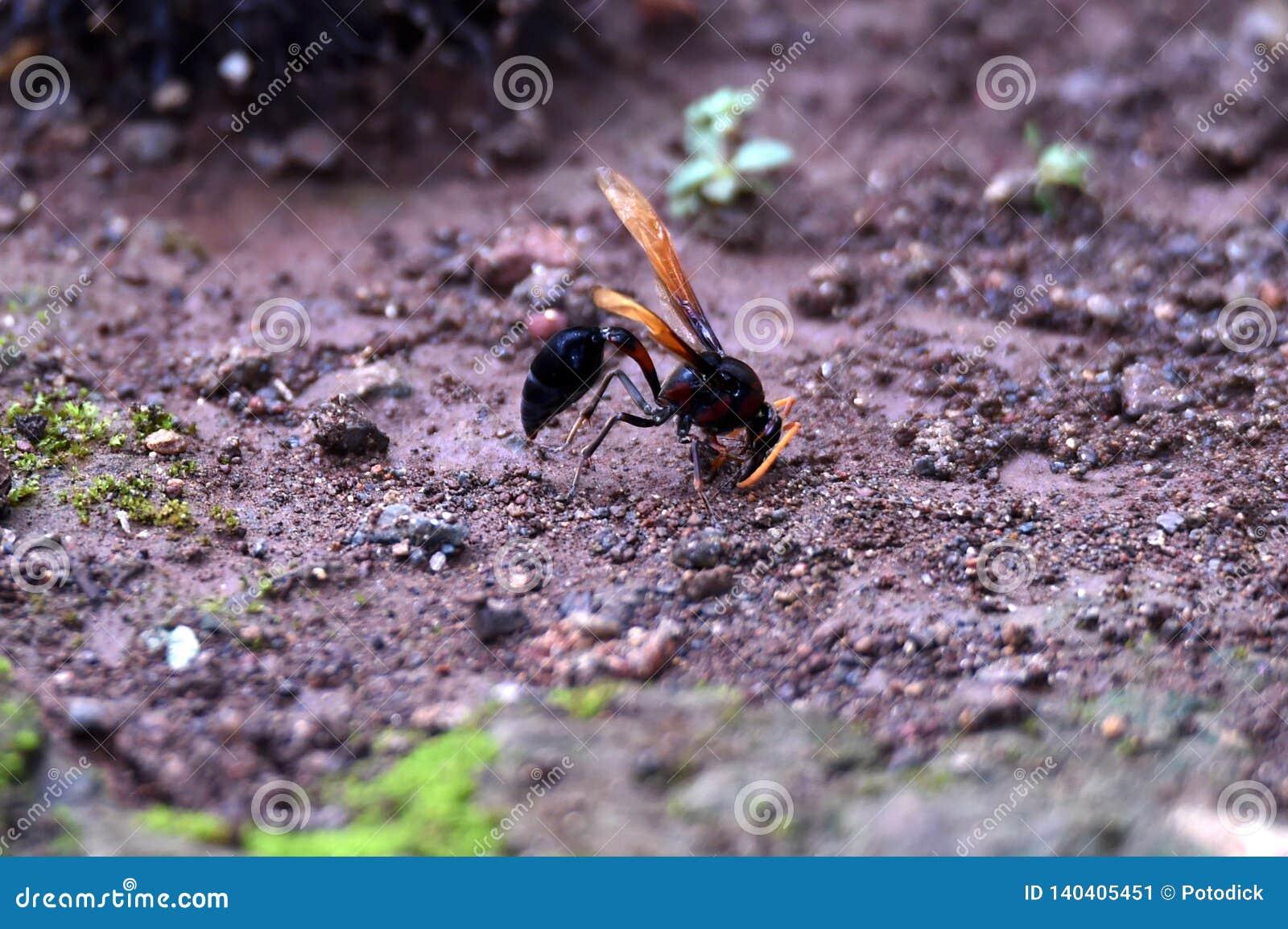 Guêpe noire à ailes brune brillante étée perché au sol