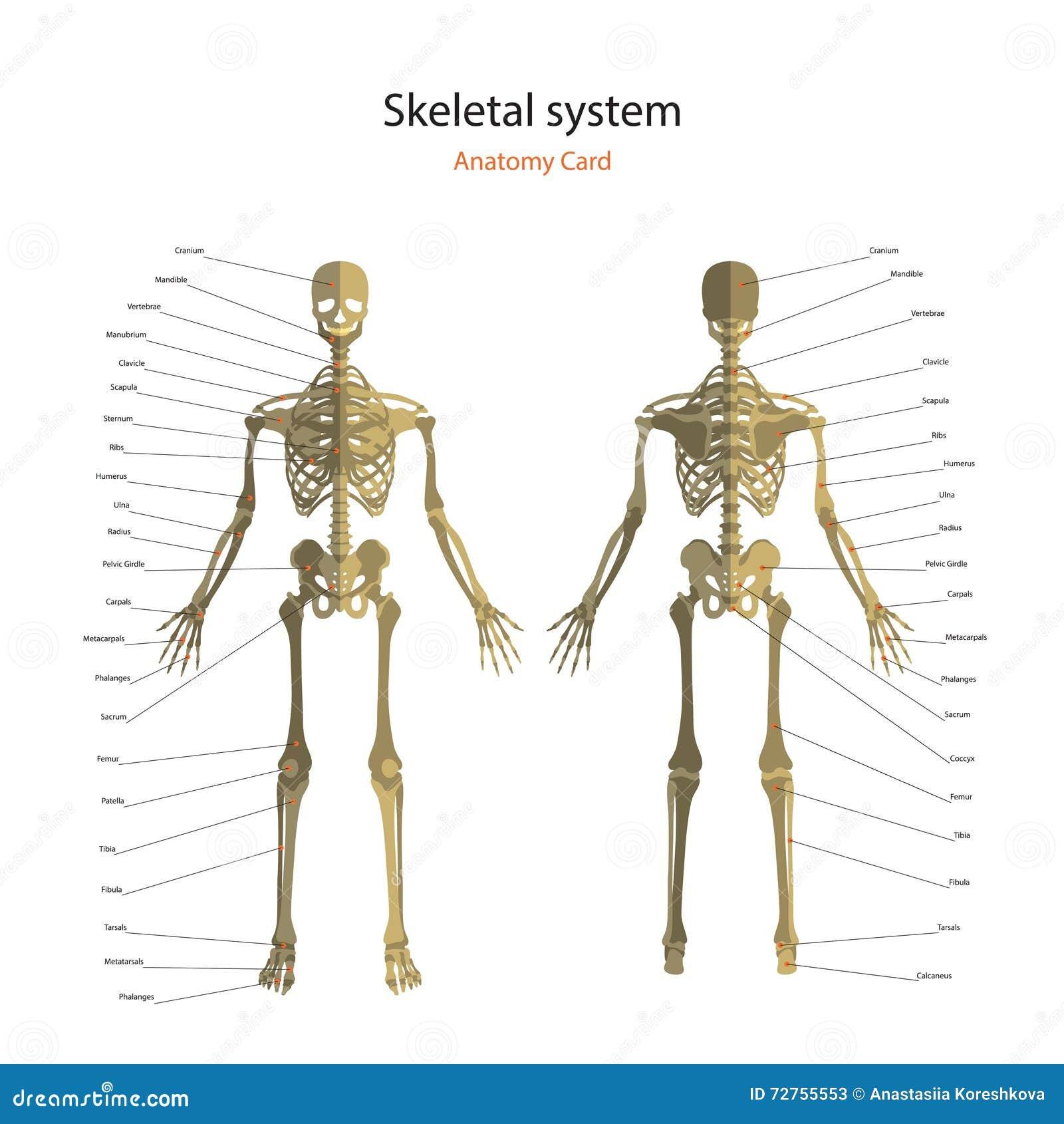Anatomía Esquelética Humana De La Médula Espinal Con Las Etiquetas ...