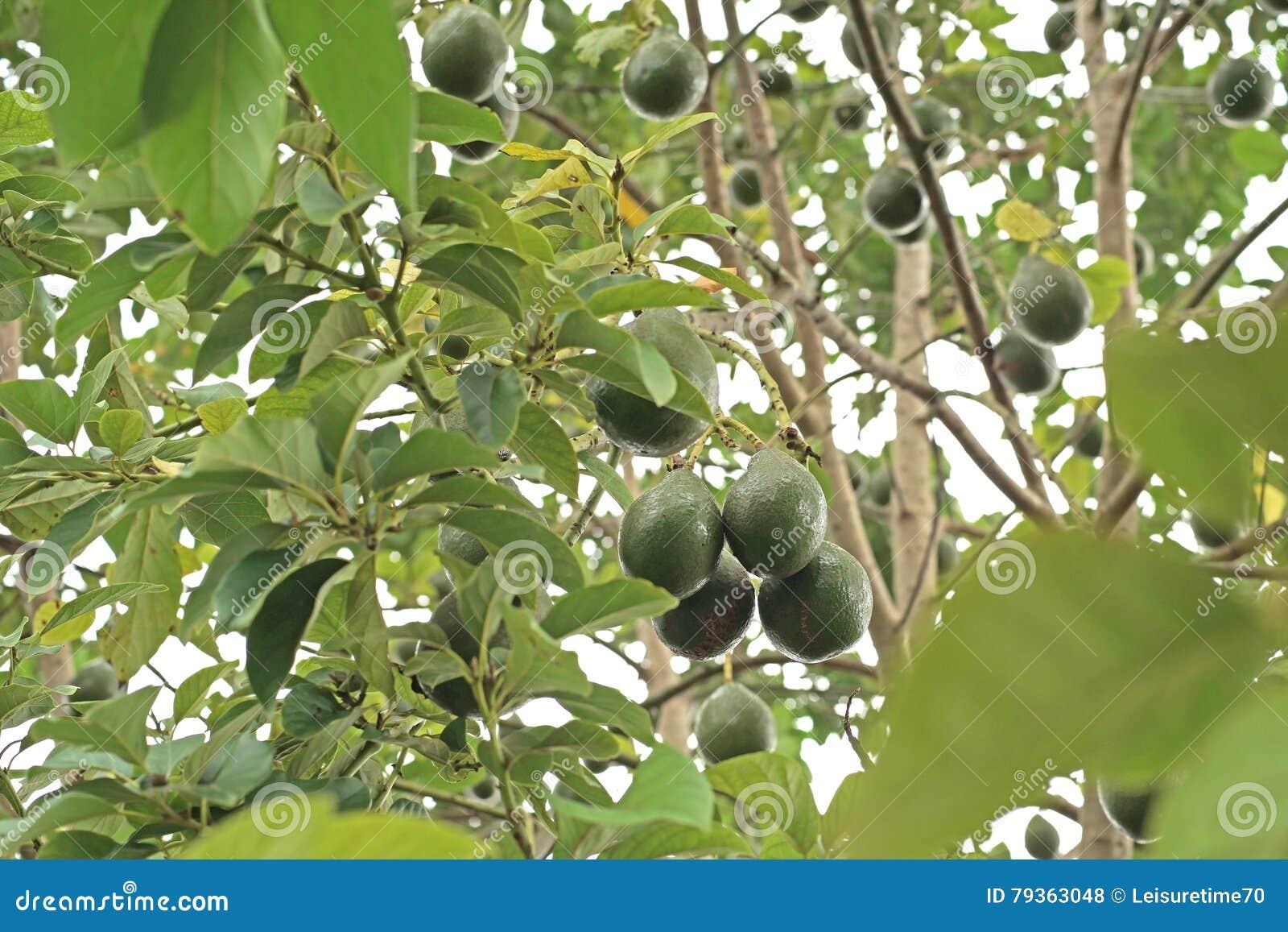 guacamole de palta d'avocat sur l'arbre photo stock - image du fruit
