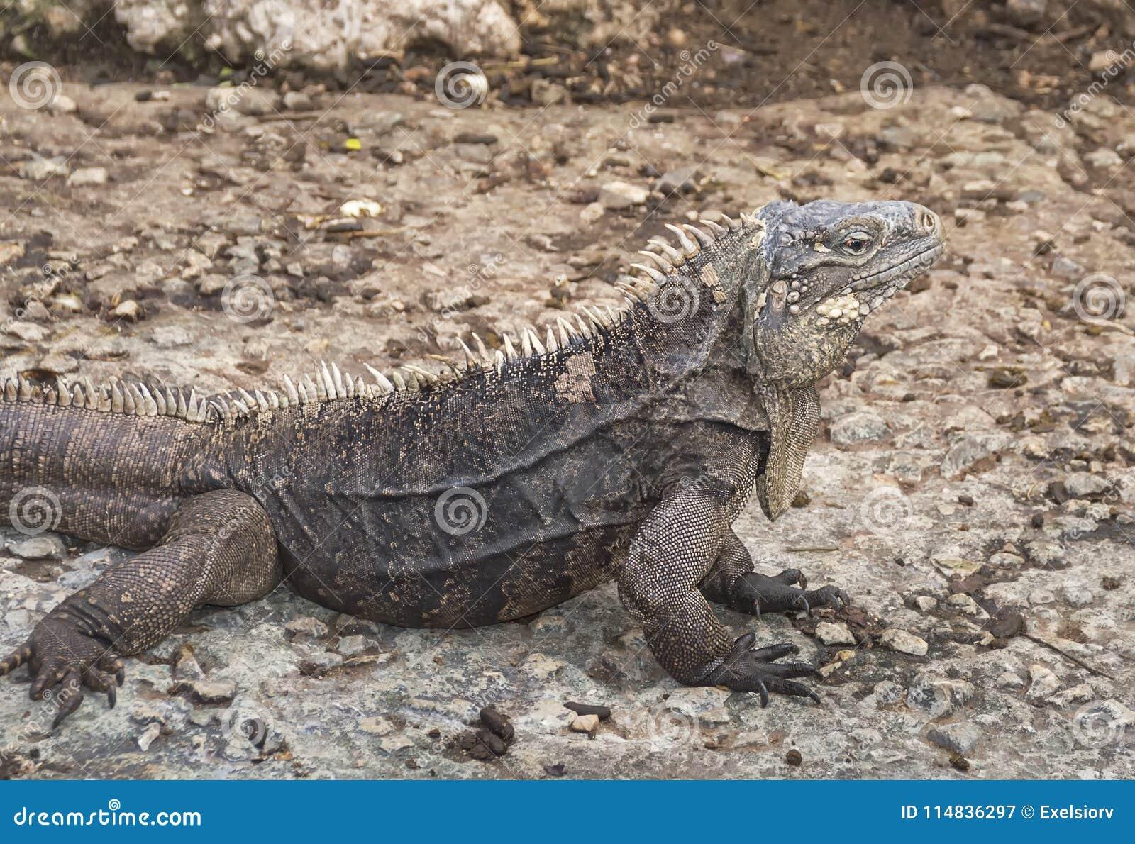 Guana det vanliga, i naturliga villkor