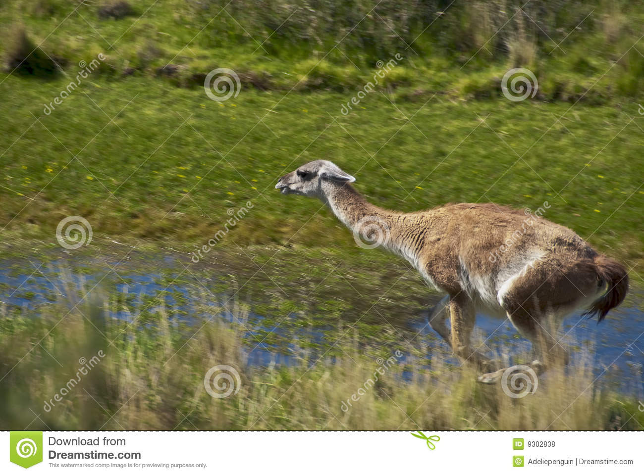 Guanaco, Patagonia Wildlife, Chile Royalty Free Stock Photos - Image ...