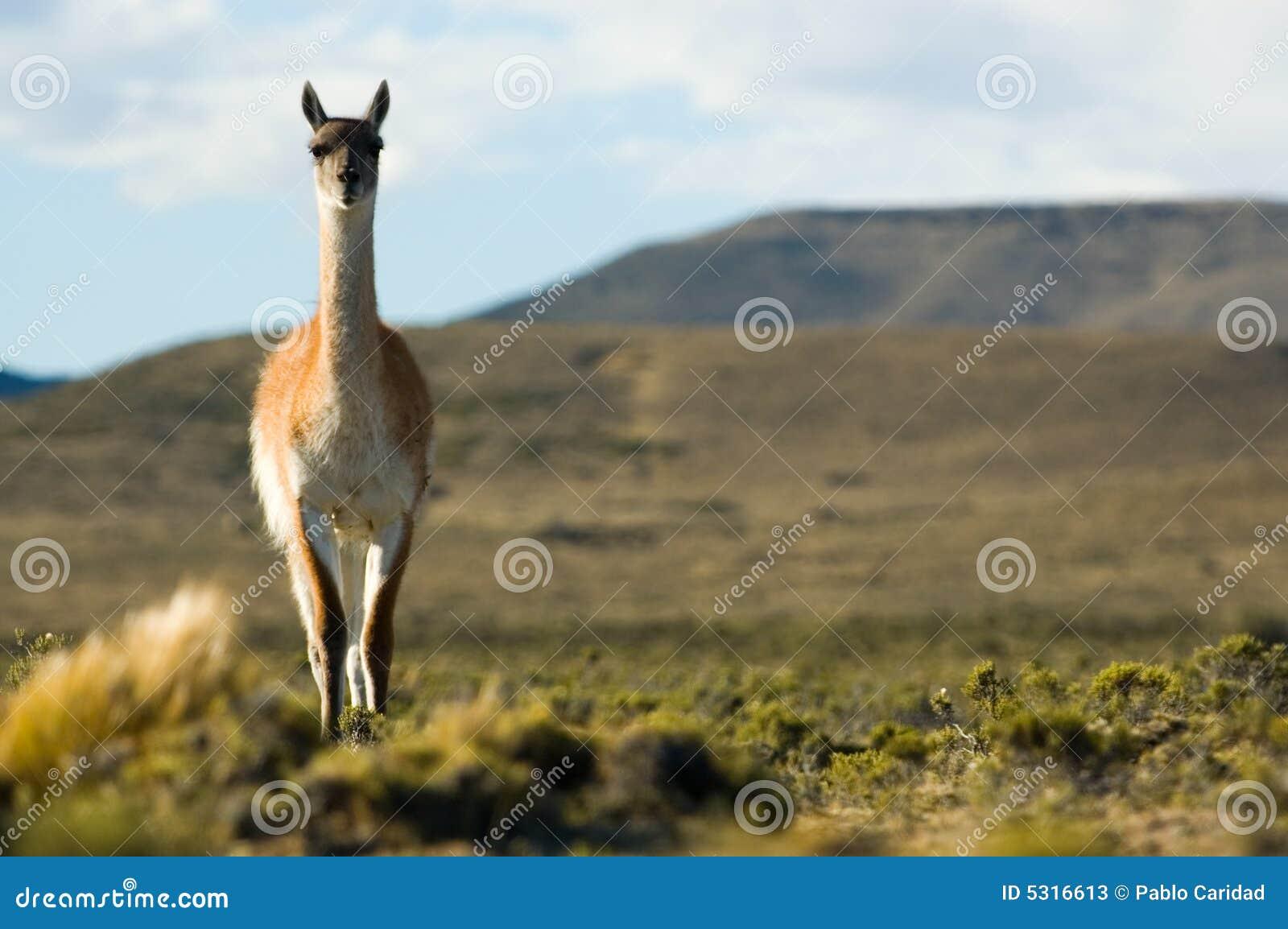 Download Guanaco Selvaggio Nel Patagonia. Immagine Stock - Immagine di animale, nave: 5316613