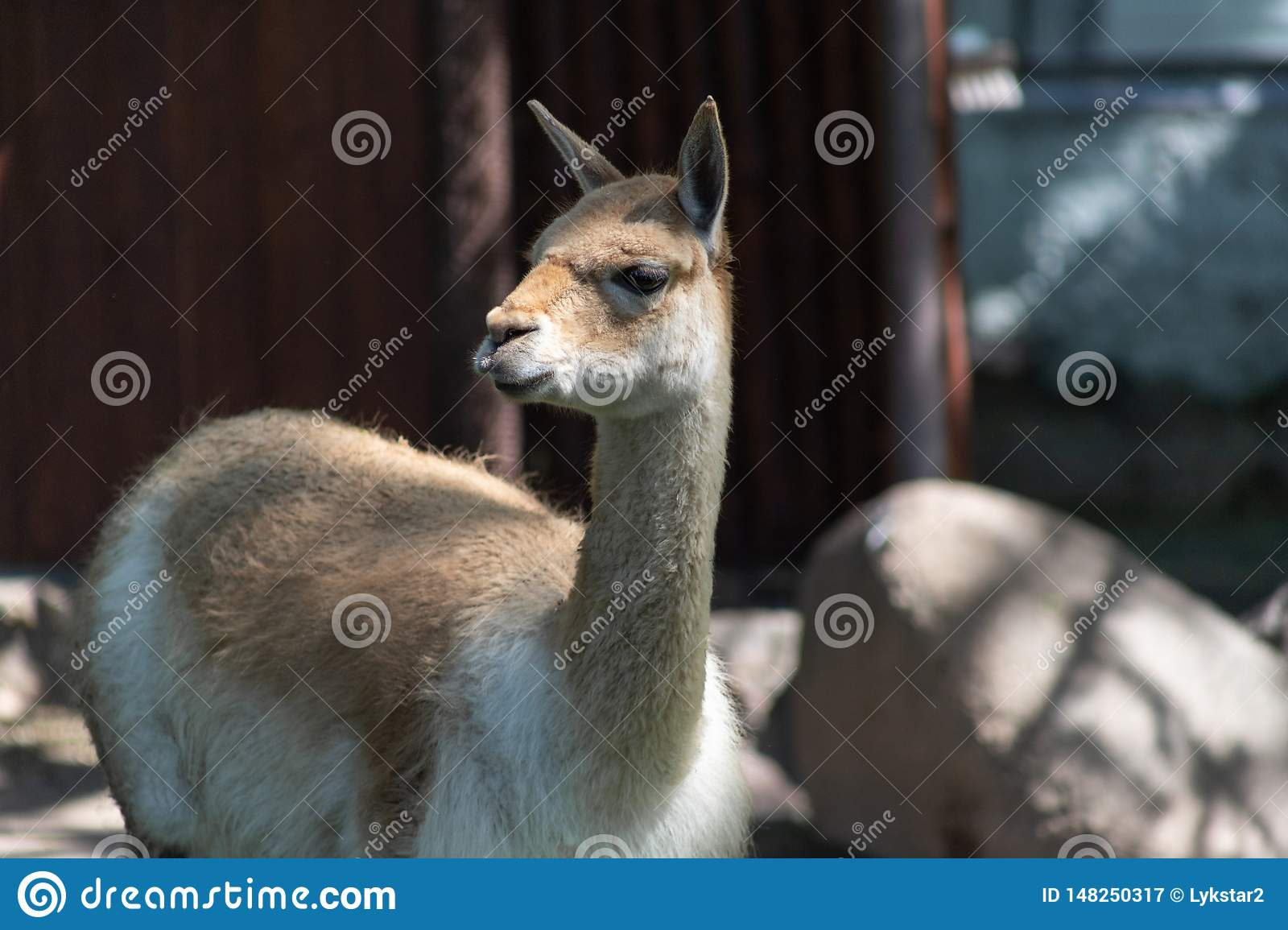 Guanaco wild humpless camel ancestor of the Lama, a resident of South America in the Moscow zoo