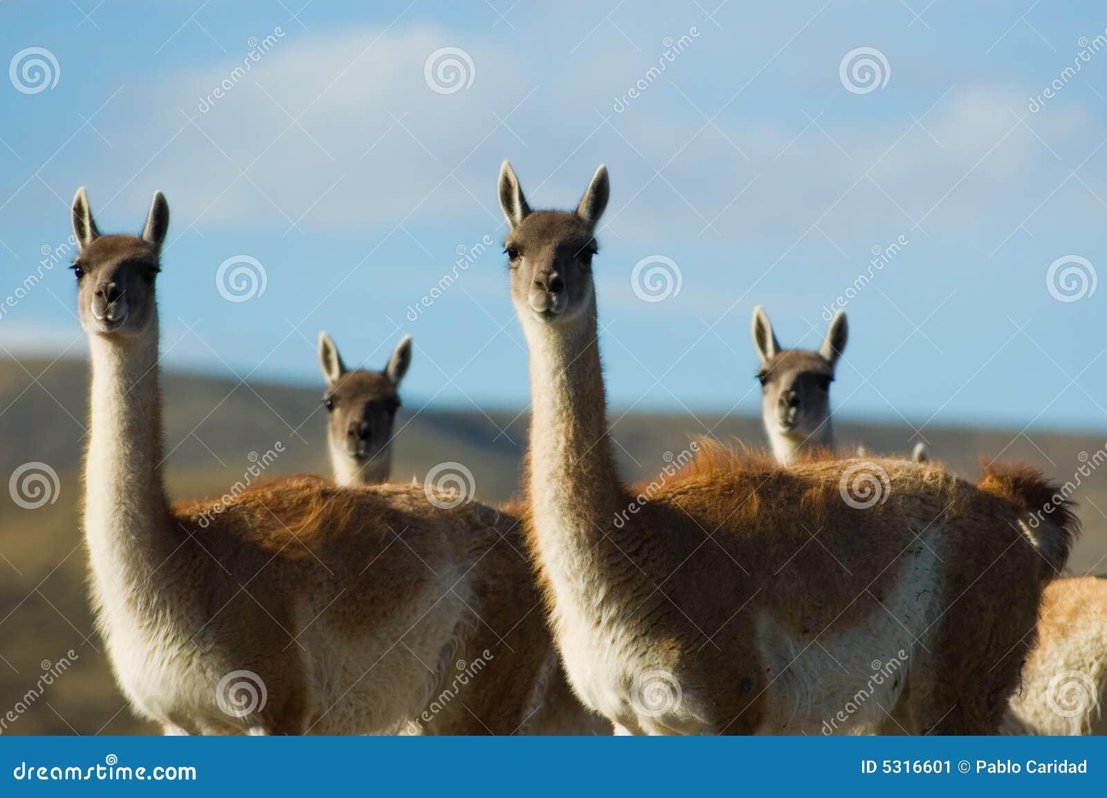 Download Guanacoes Selvaggi Nel Patagonia. Immagine Stock - Immagine di riserva, parco: 5316601