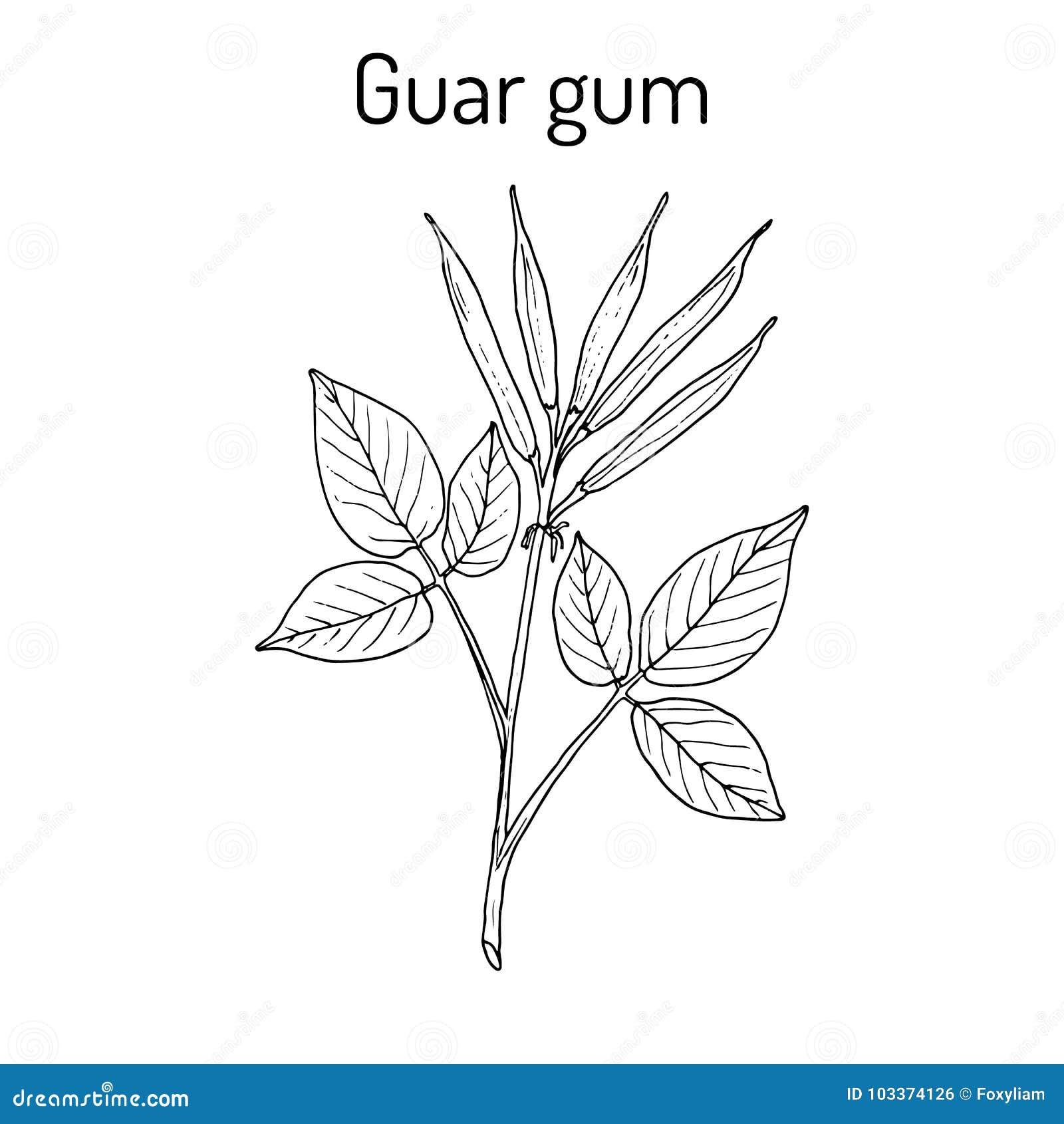 Guar dziąsła Cyamopsis tetragonoloba lub grono fasola, lecznicza roślina