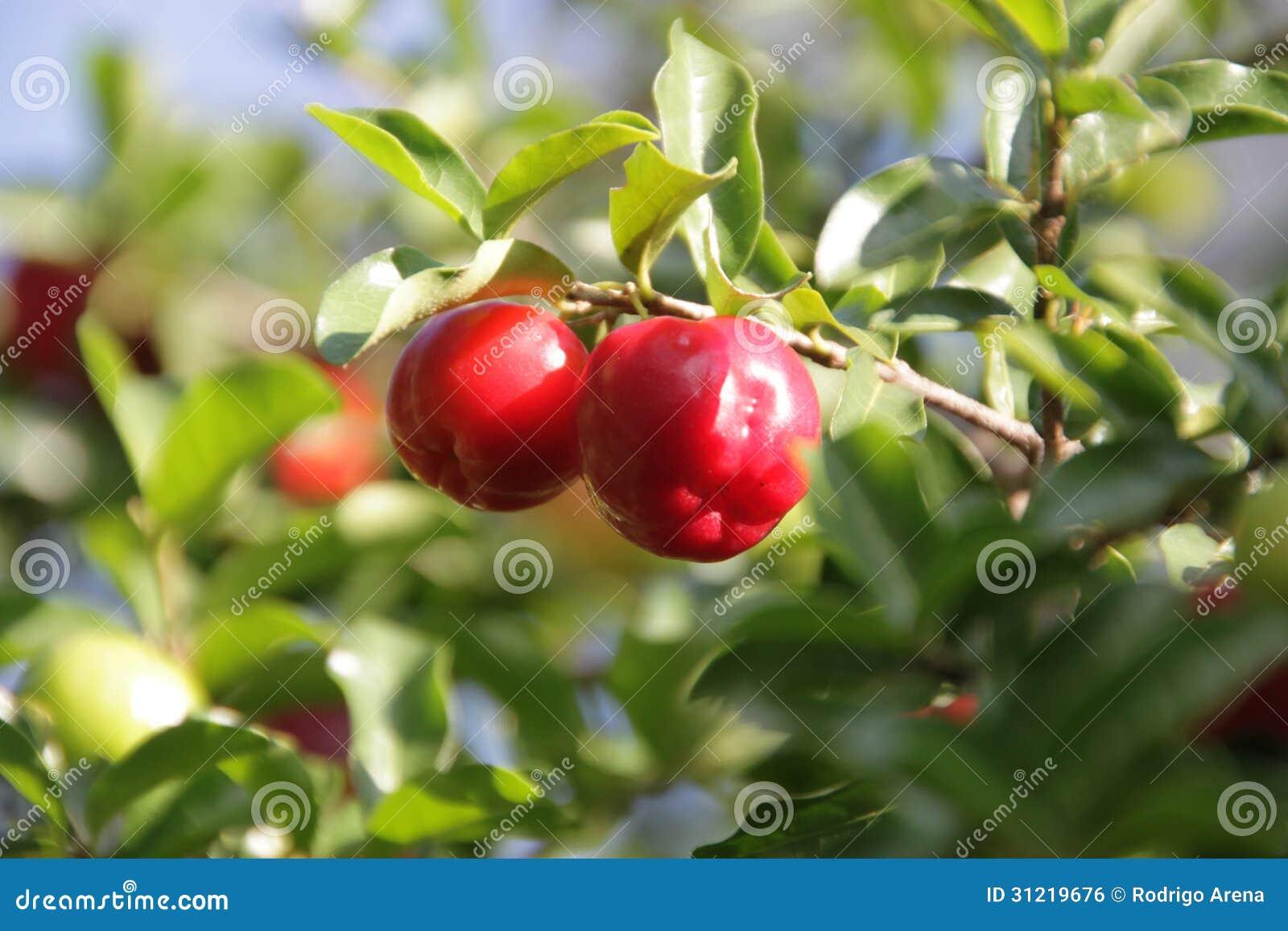 Guaraná Fruit