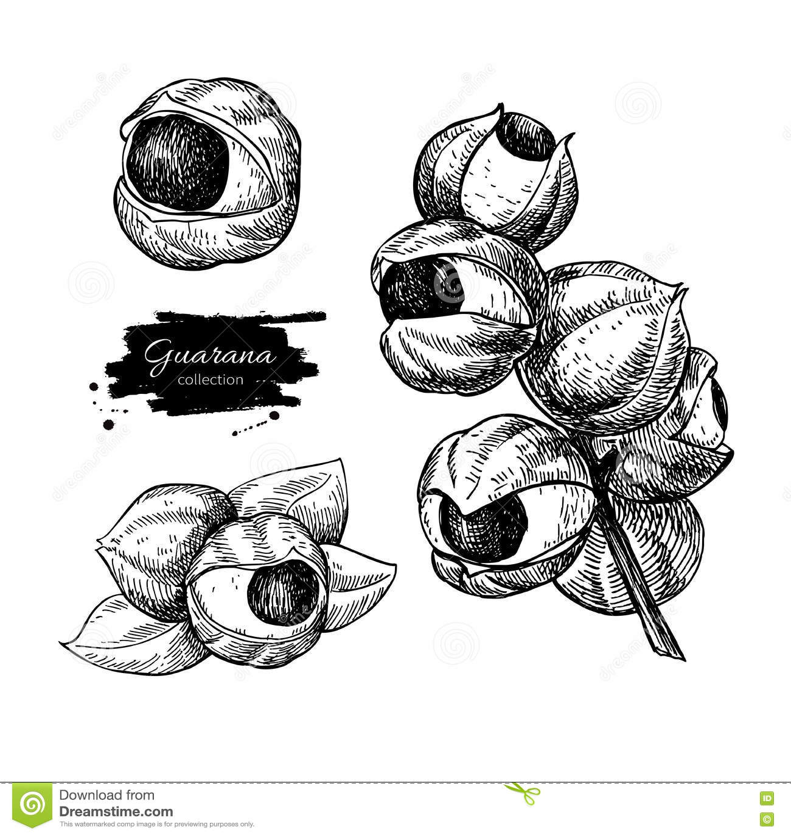 Guarana vector superfood drawing set. Isolated hand drawn
