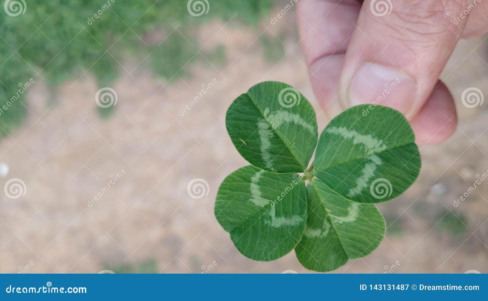 Guardando um trevo de quatro folhas que simboliza o amor