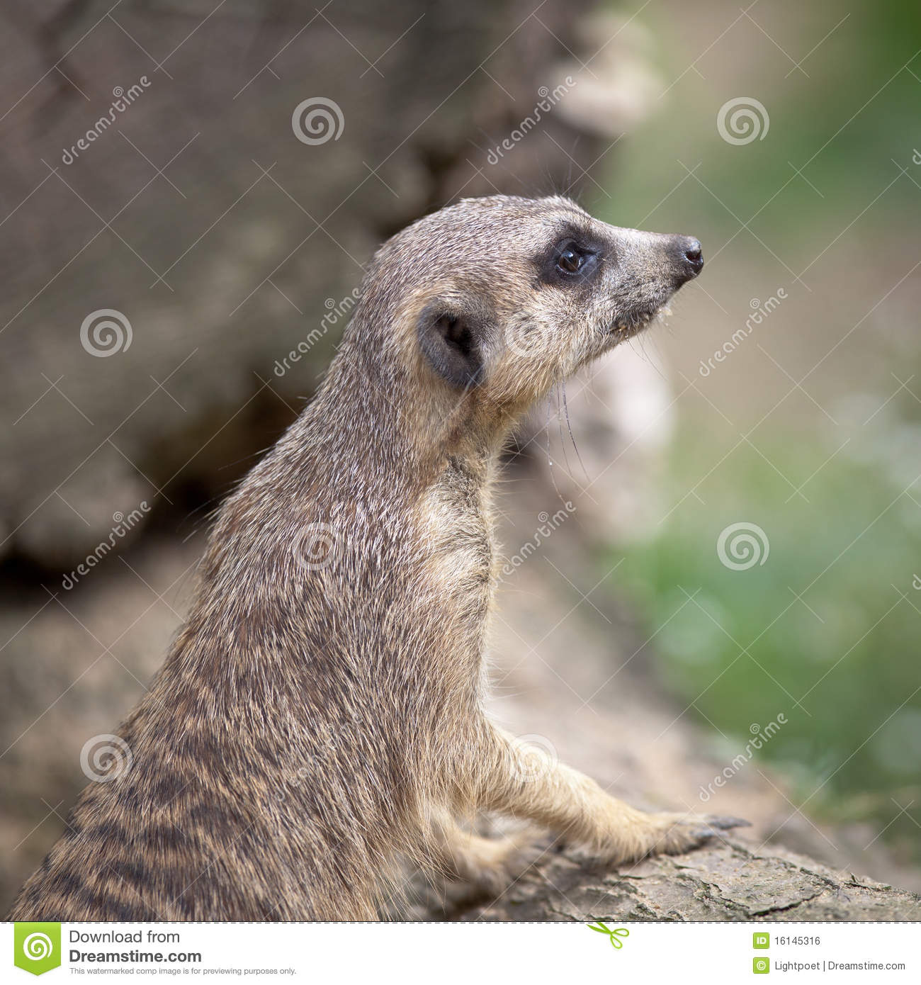 Guardmeerkat som plattforer watchful