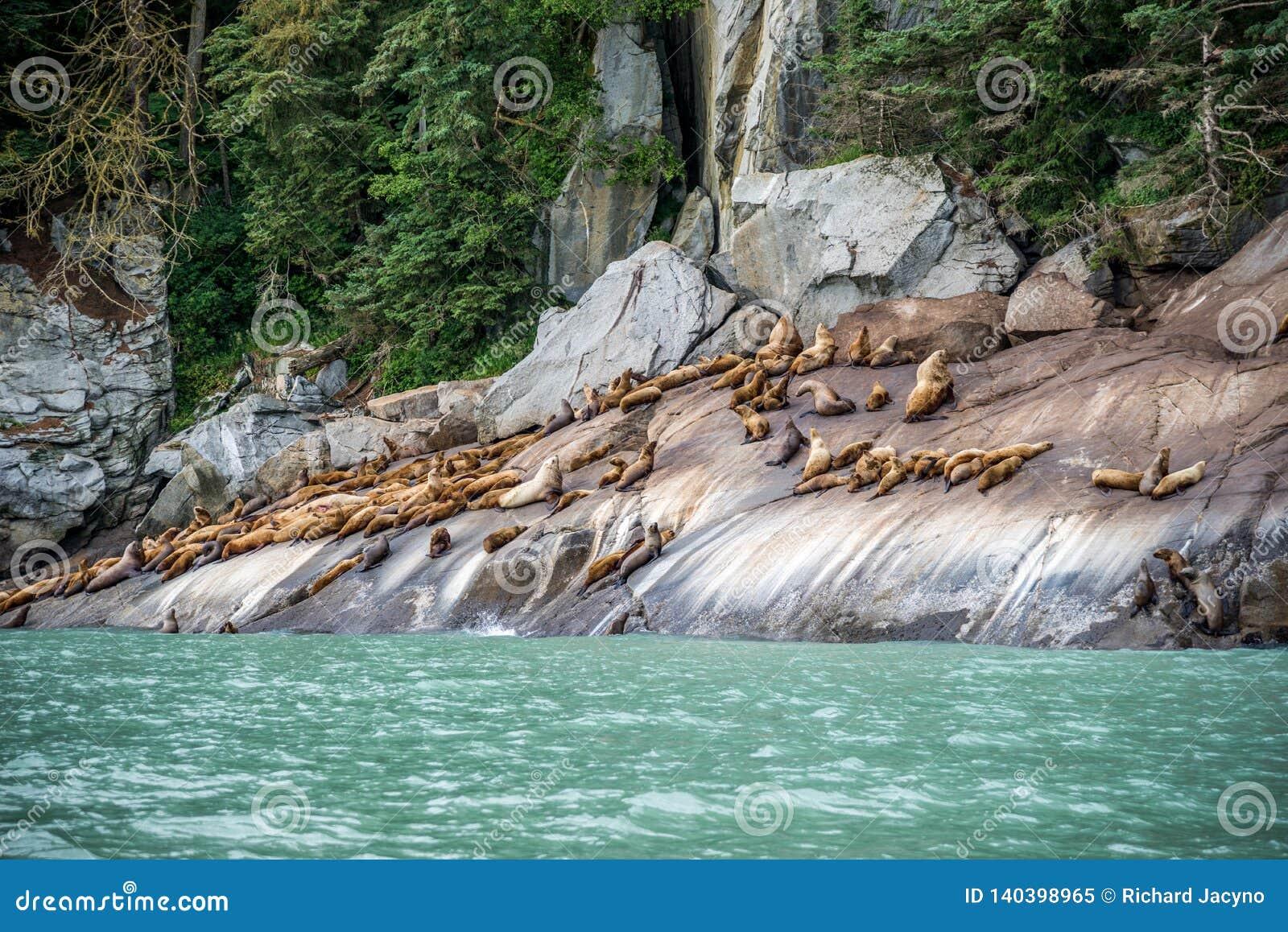 Guarnizioni di pelliccia che prendono il sole sulla riva rocciosa in Chilkoot