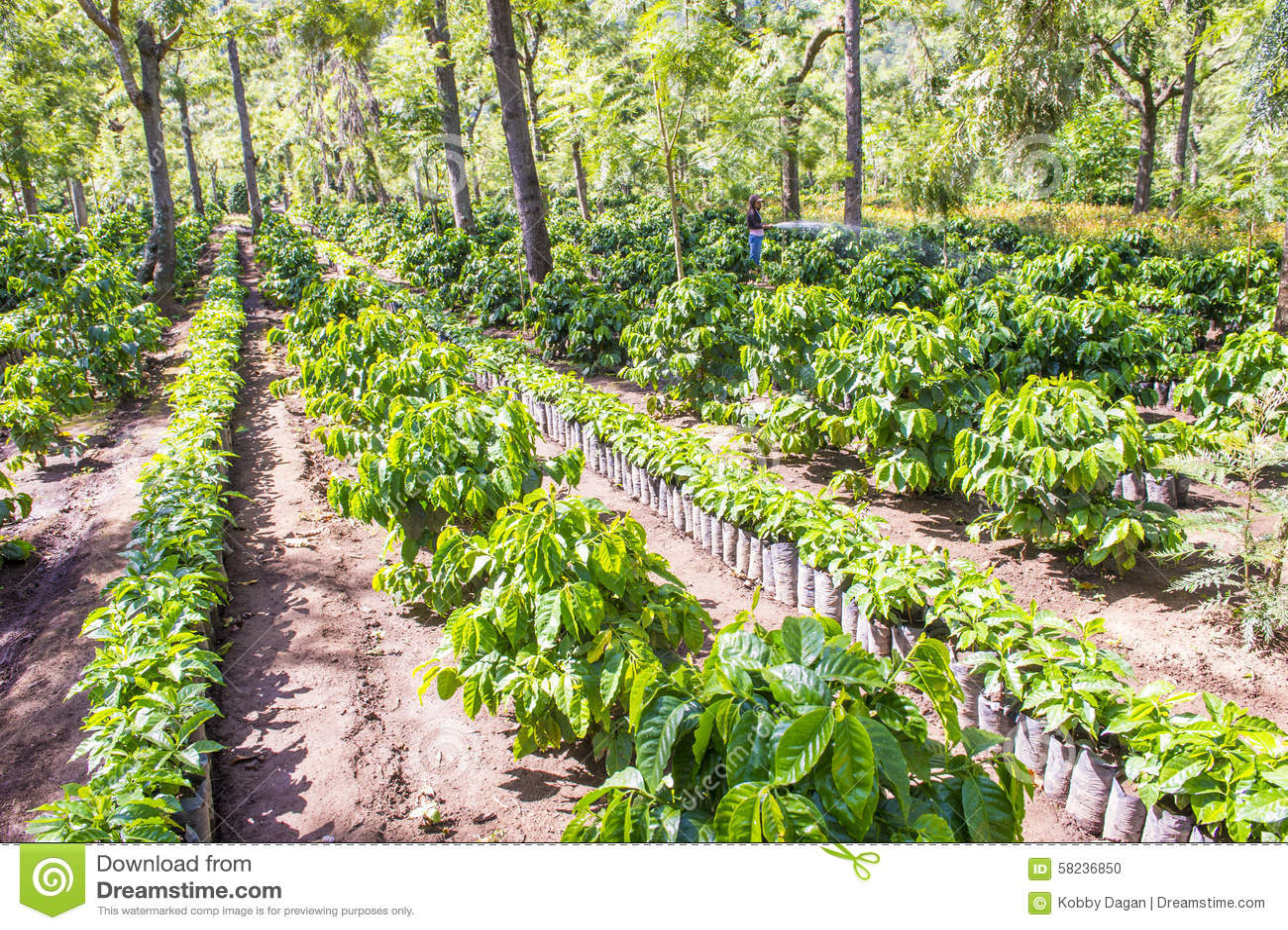 Guatemala Coffee Plantation Editorial Image - Image: 58236850