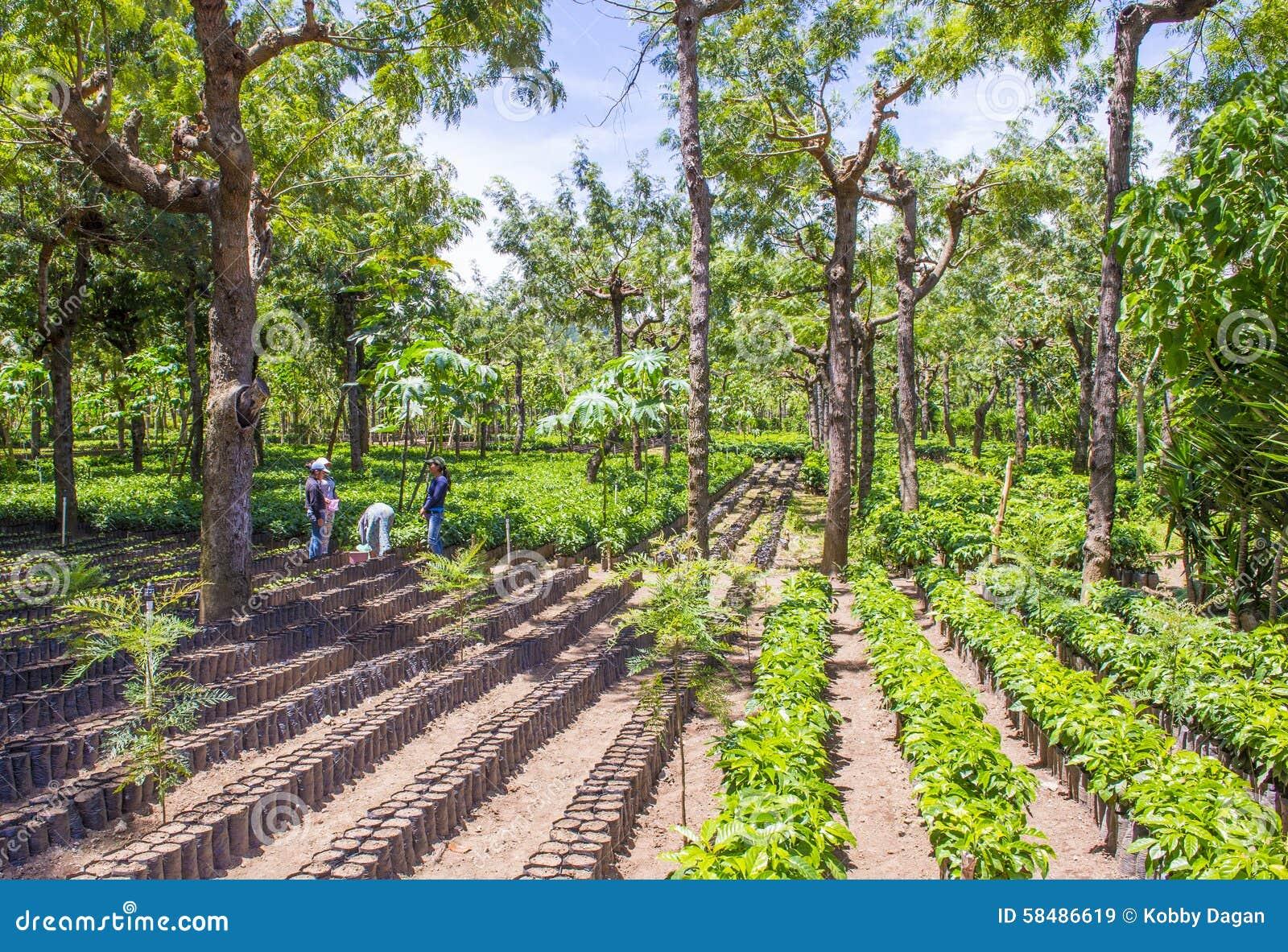 Guatemala Coffee Plantation Editorial Stock Image - Image ...