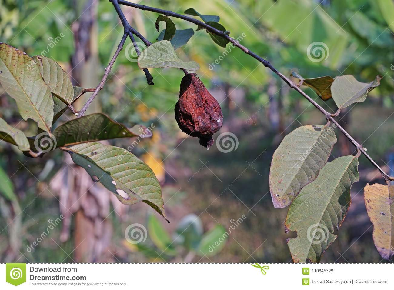 Guava Fruit Rot From Fruit Fly Infestation Stock Image