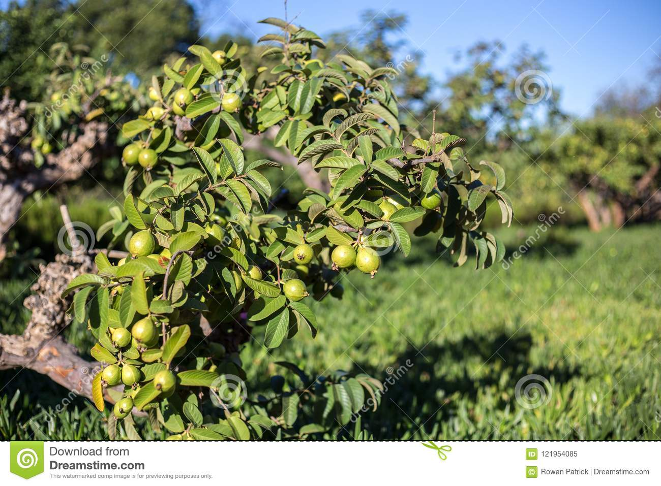 Guave Tee  Top Guave Tee With Guave Tee  Psidium Cattleianum