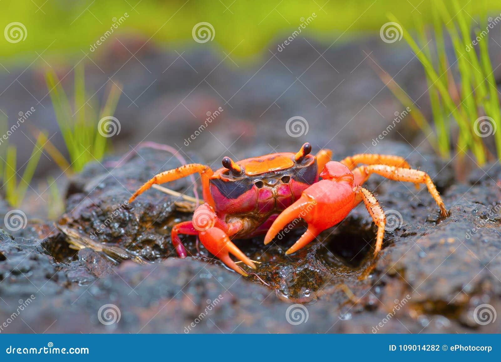 Gubernatoriana thackerayi a newly discovered species of brightly coloured freshwater crabs Satara