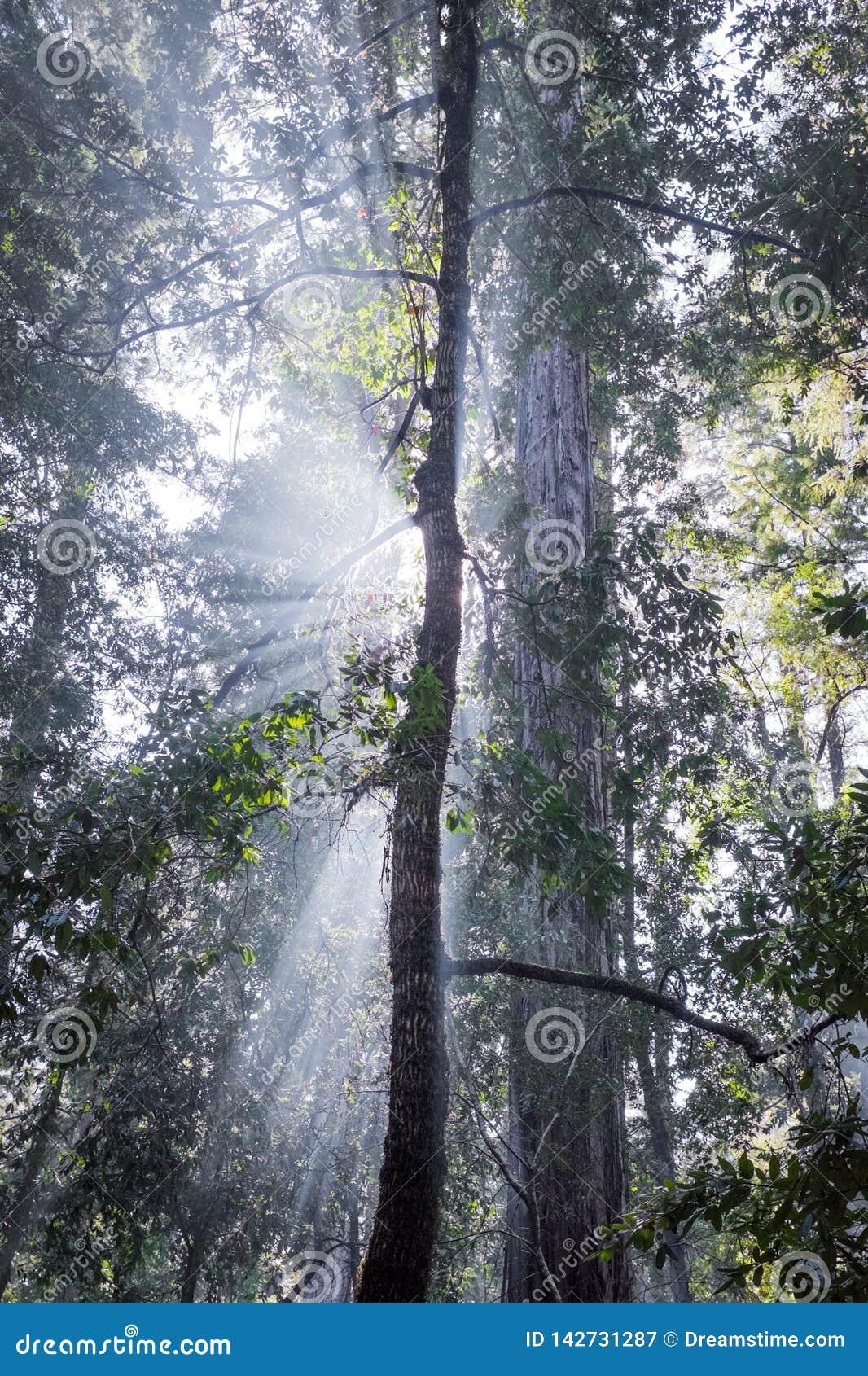 Gudstrålar i redwoodträdträd