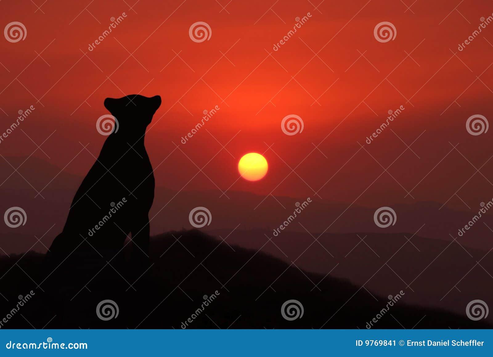 Guepardo en la puesta del sol