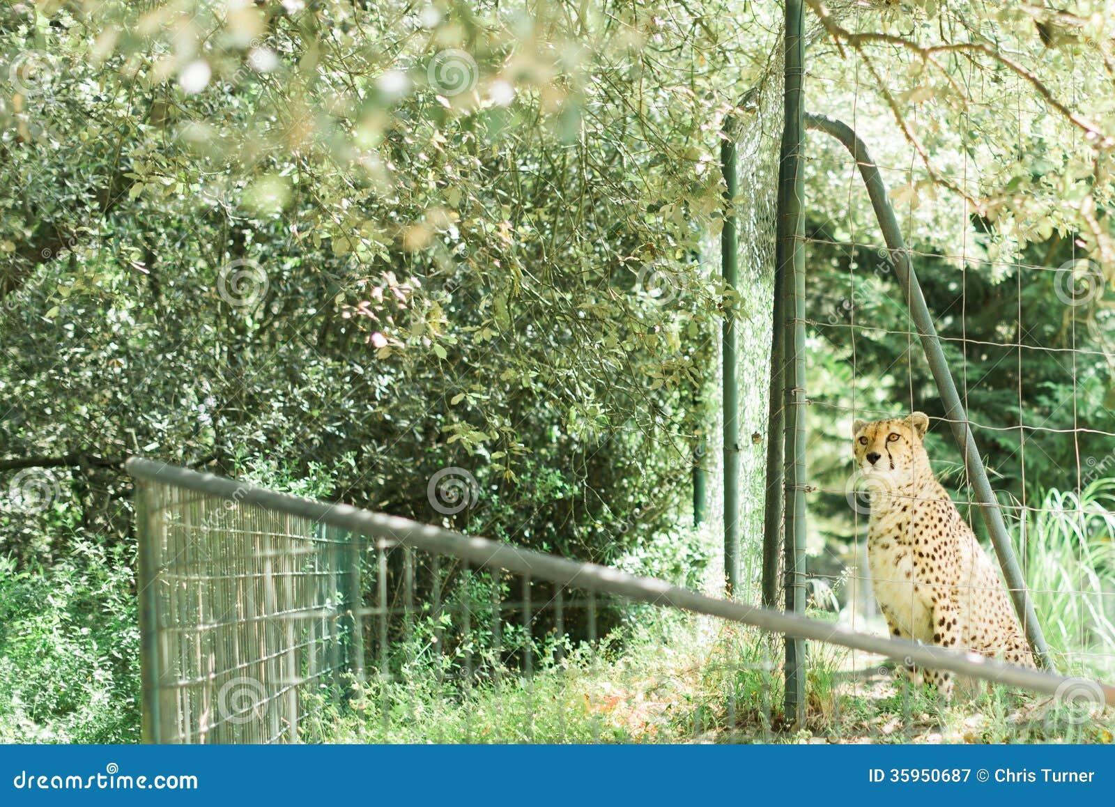 Guepardo enjaulado en un parque zoológico