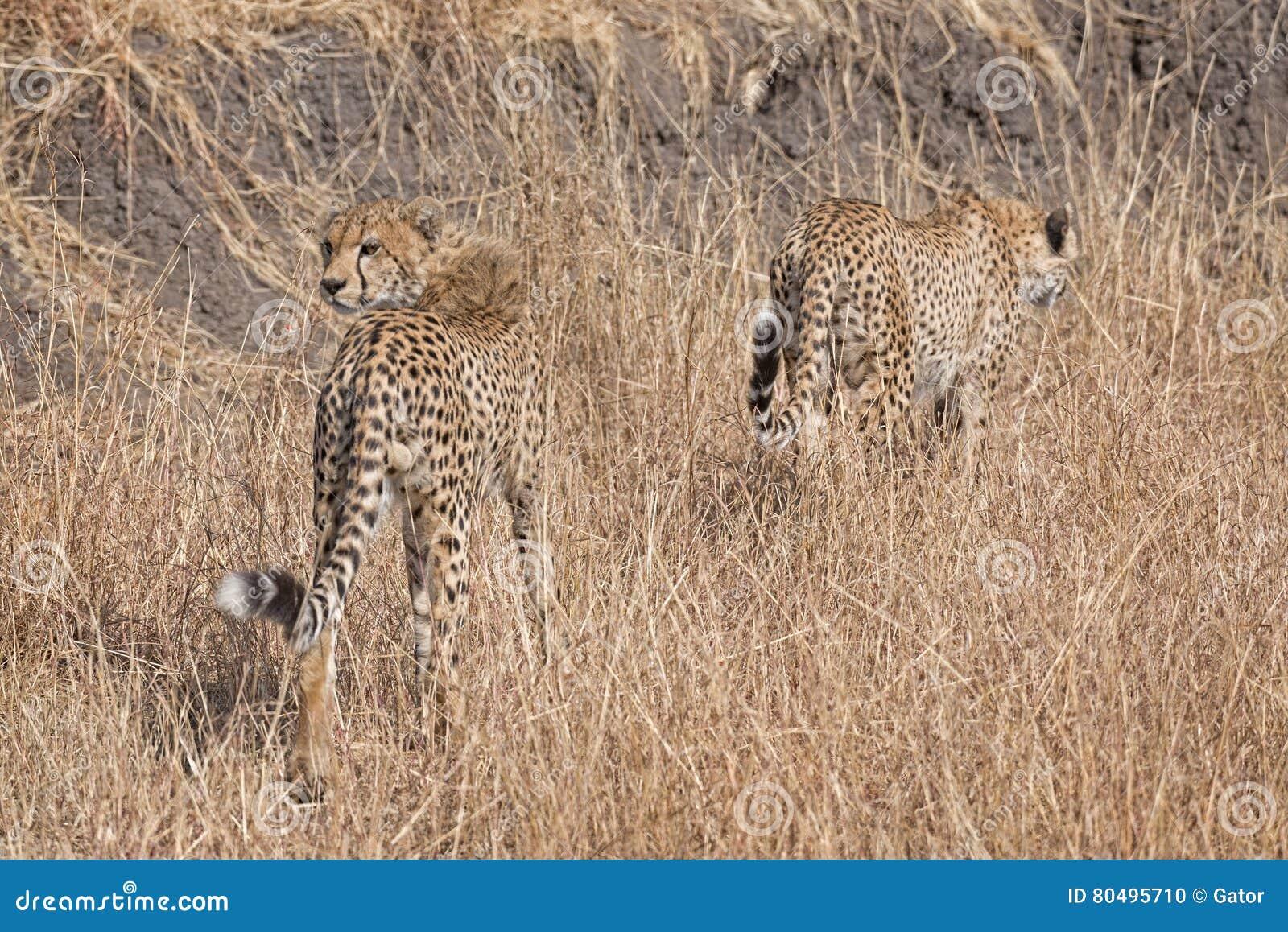 Guepardos africanos
