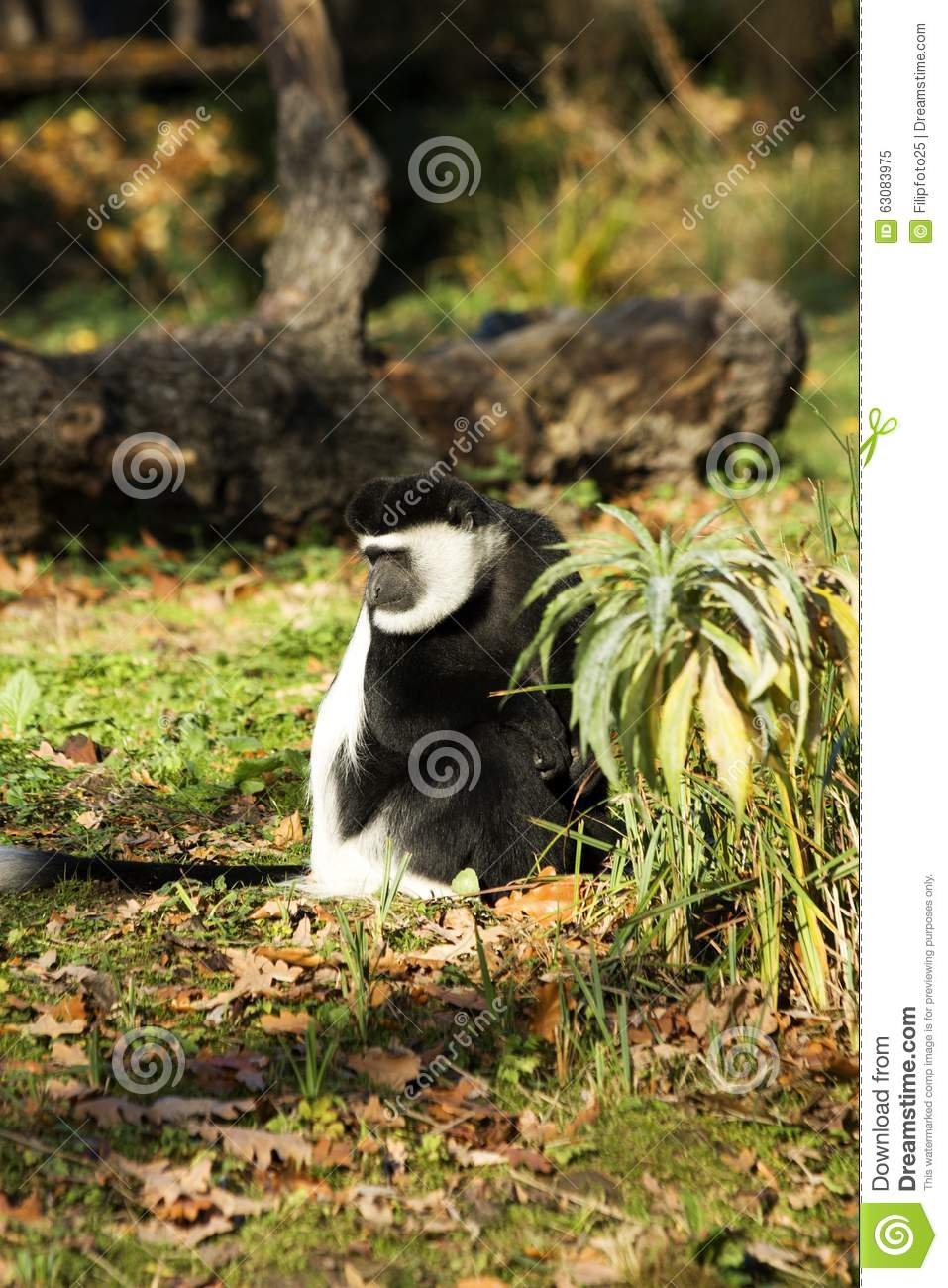 Download Guereza de Colobus image stock. Image du couples, animal - 63083975