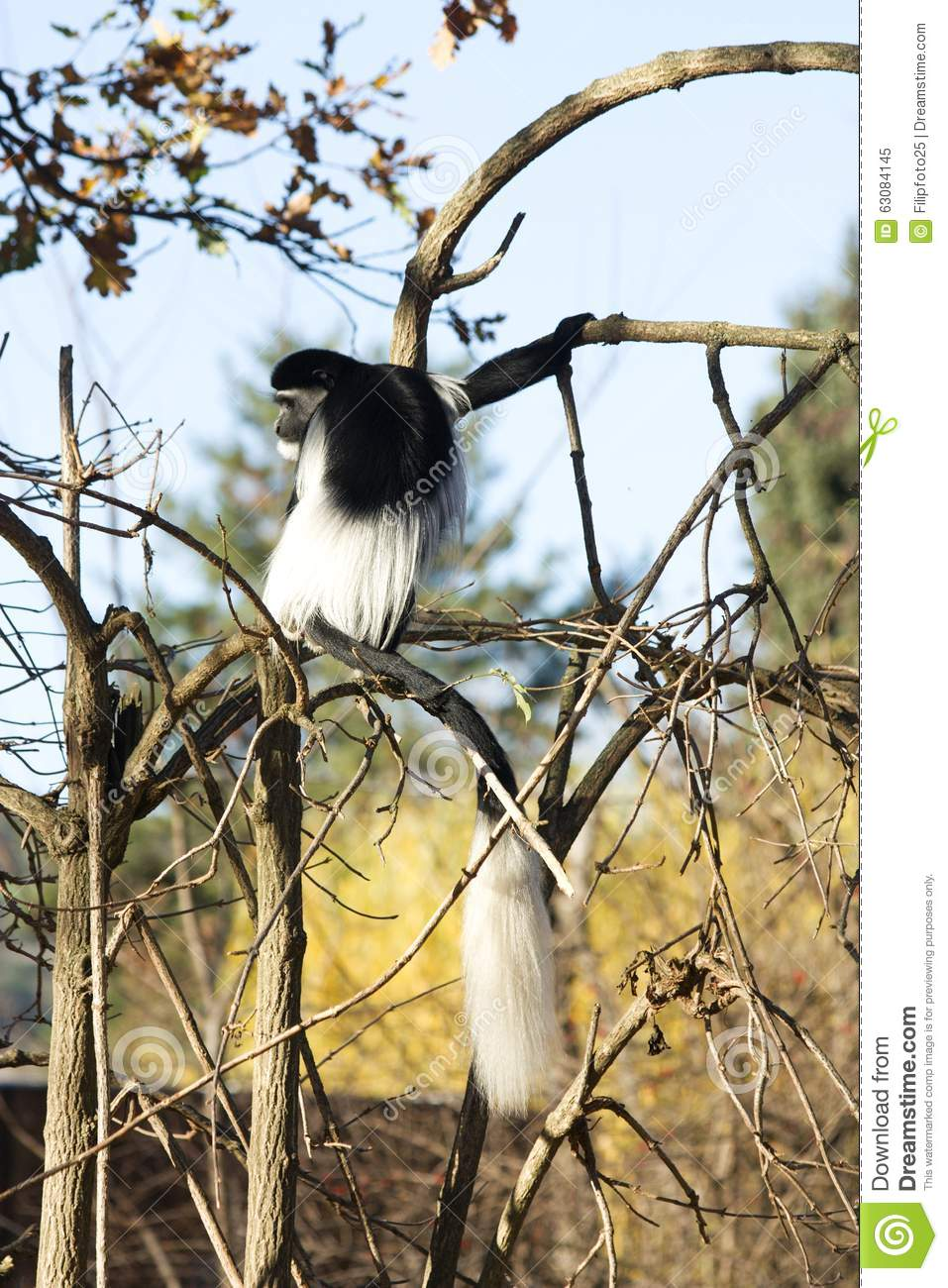 Download Guereza de Colobus image stock. Image du visage, closeup - 63084145