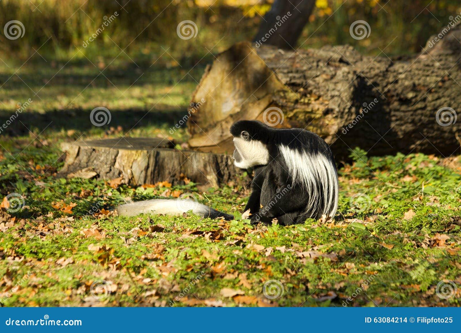 Download Guereza de Colobus photo stock. Image du endangered, caresse - 63084214