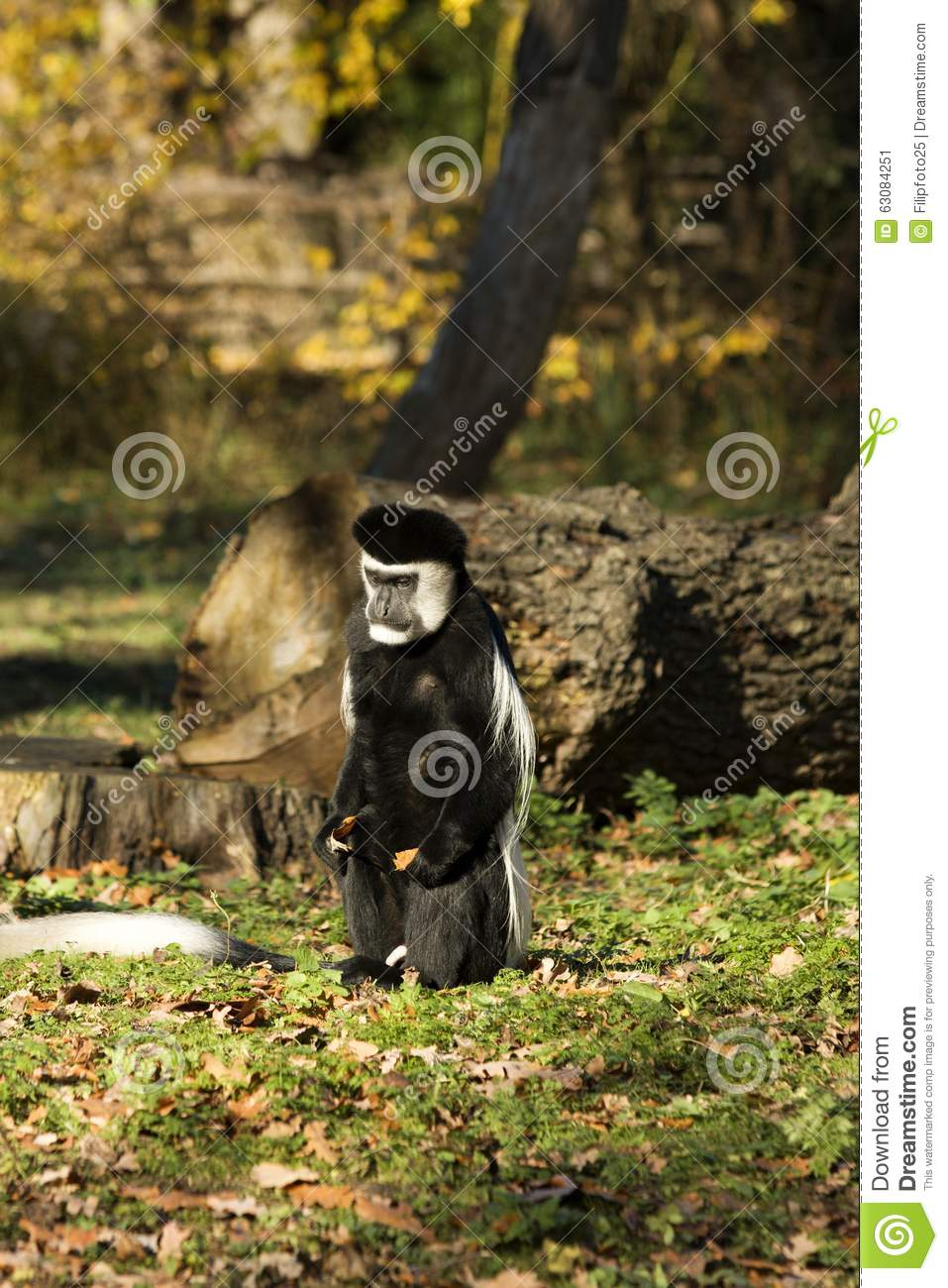 Download Guereza de Colobus image stock. Image du noir, visage - 63084251