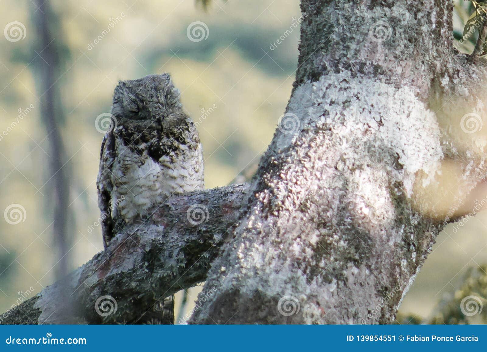 Gufo addormentato su un ramo
