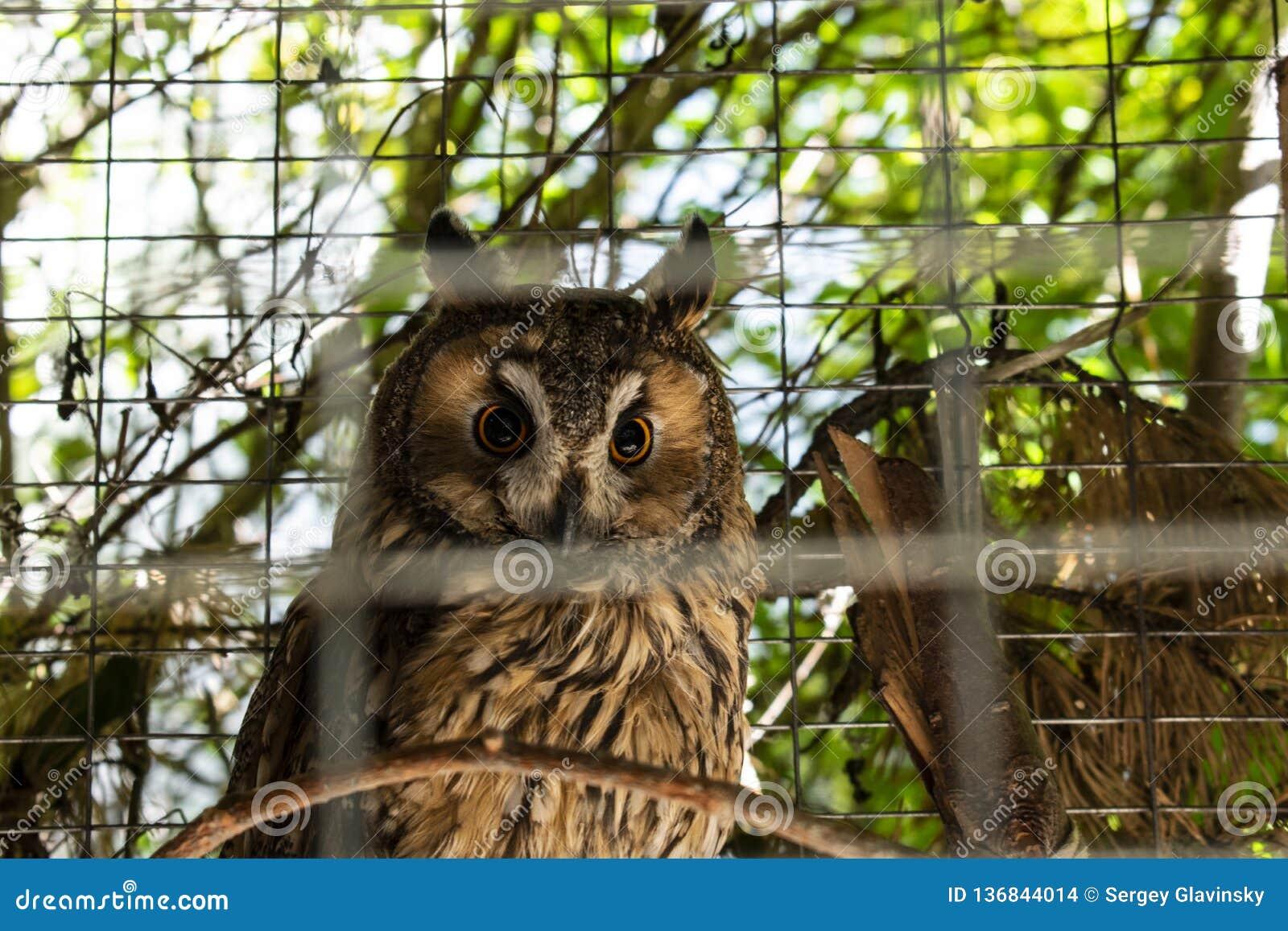 Gufo siberiano che si siede in una gabbia