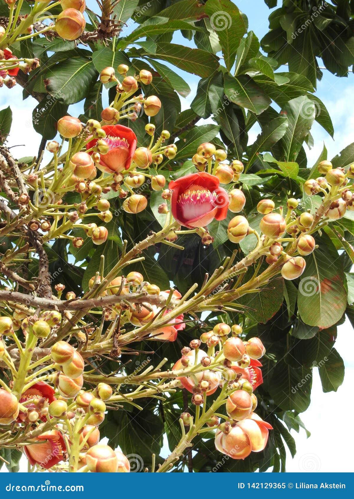 Guianensis couroupita цветка дерева пушечного ядра с много бутонами и зеленых листьев