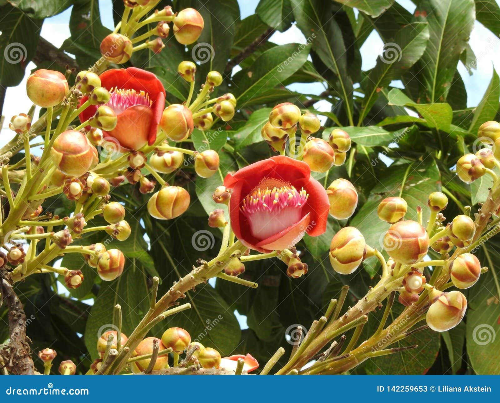 Guianensis di couroupita del fiore dell albero della palla di cannone con molti germogli e foglie verdi