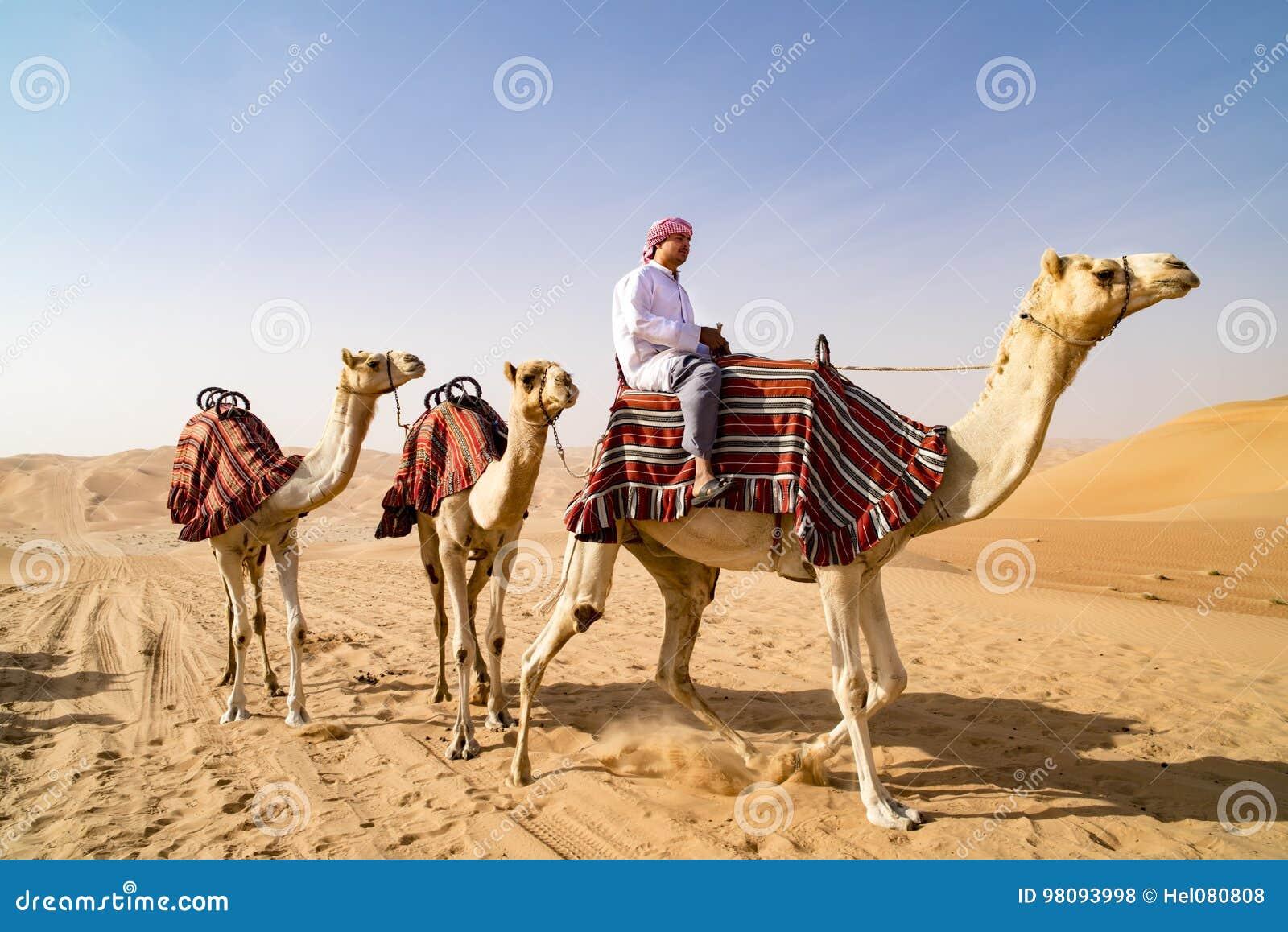 Guiding Camels in desert of Abu Dhabi, UAE. Dromedaries guided from leader.