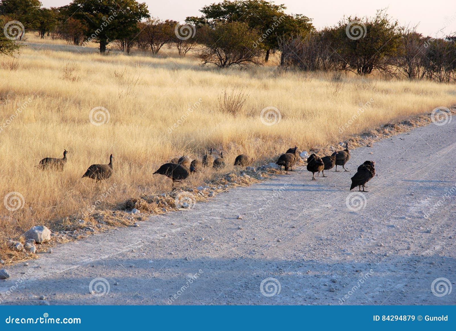 Guinée-volailles