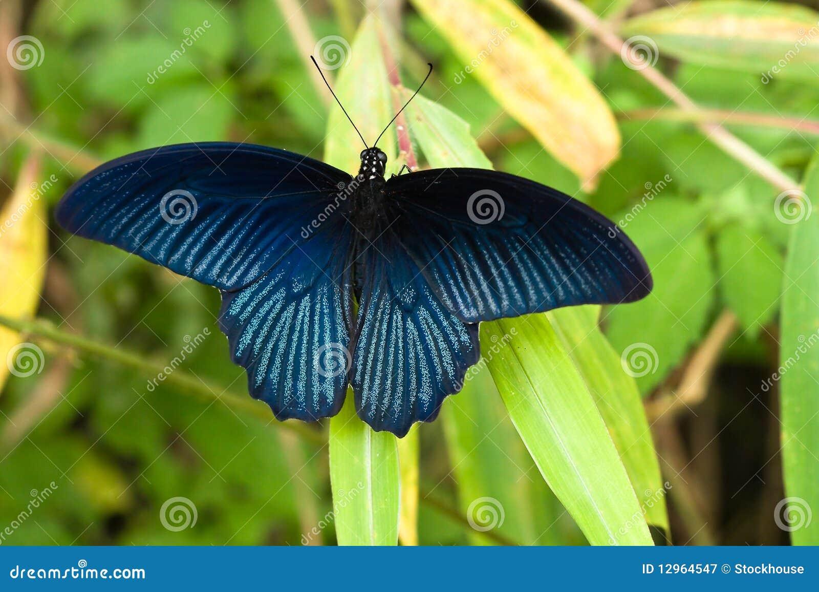 Guindineau bleu vibrant
