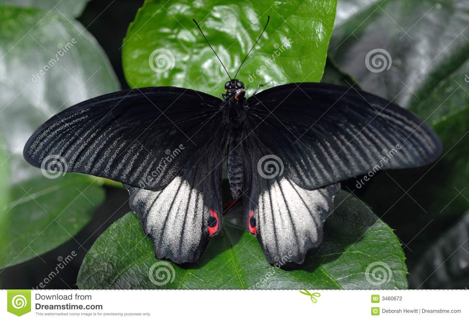 Guindineau de Swallowtail d écarlate