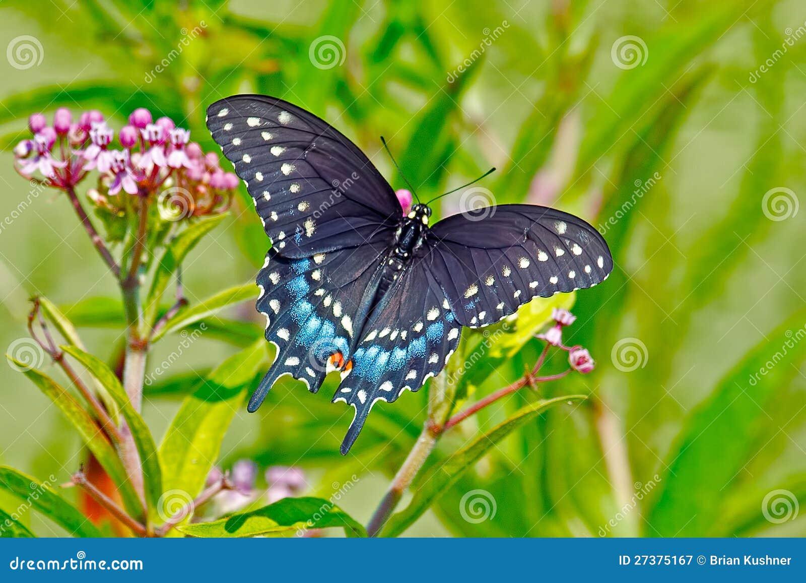 Guindineau noir de Swallowtail
