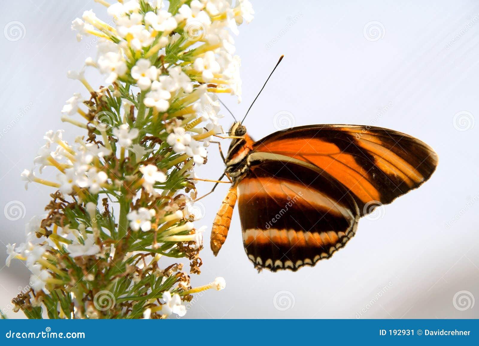 Guindineau orange et noir sur la fleur blanche