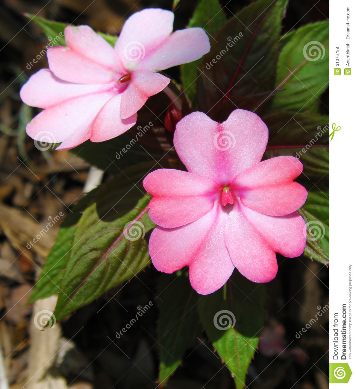 Guinea Impatiens Flowers Royalty Free Stock s Image