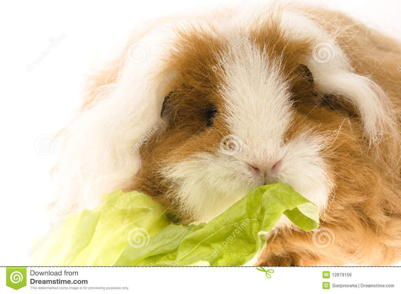 Guinea pig royalty free stock image image 12879156 for Guinea pig pictures free